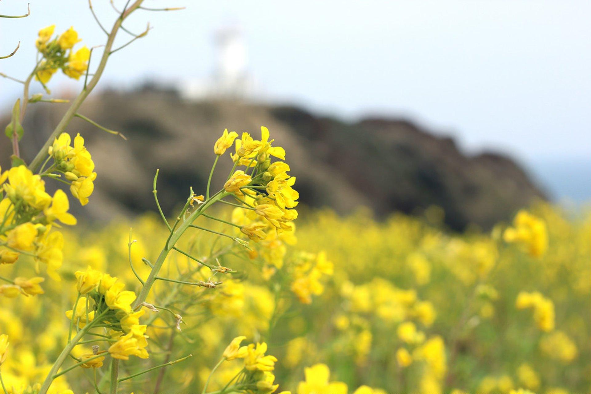 Canola (Yuche) Bloom on Jeju Island in South Korea 2020 - Best Time