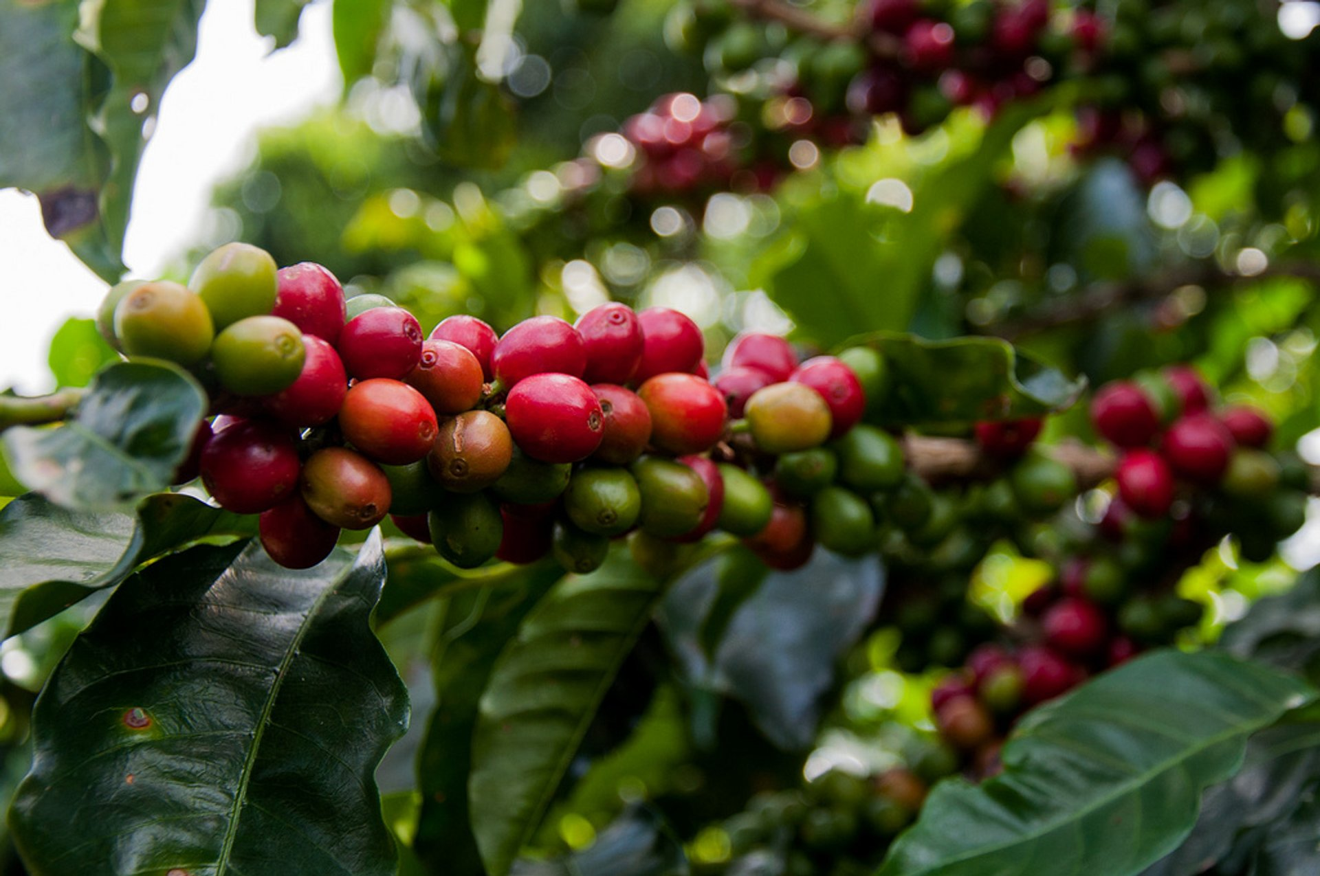 Coffee Harvest in Costa Rica 2019 - Best Time