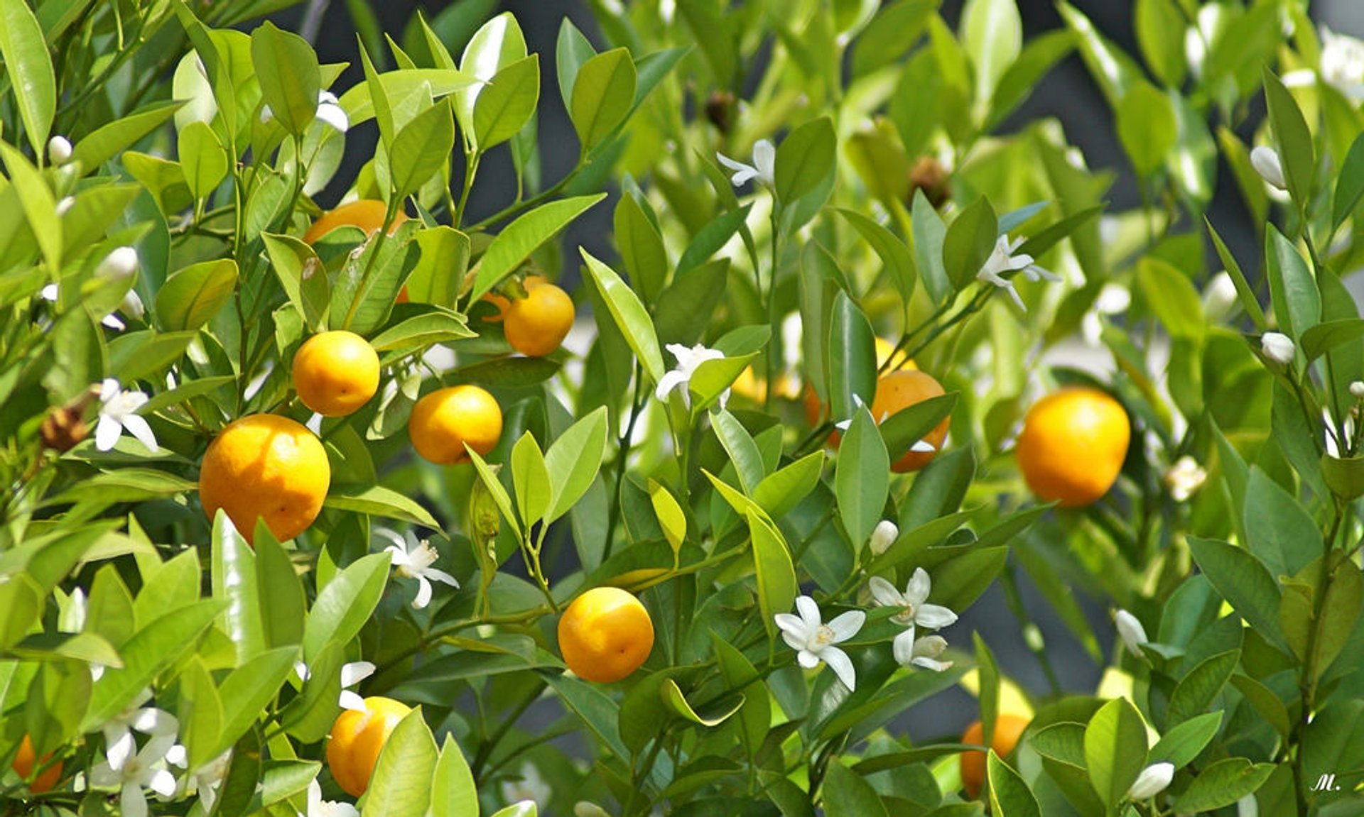 Orange Blossom in Portugal 2020 - Best Time