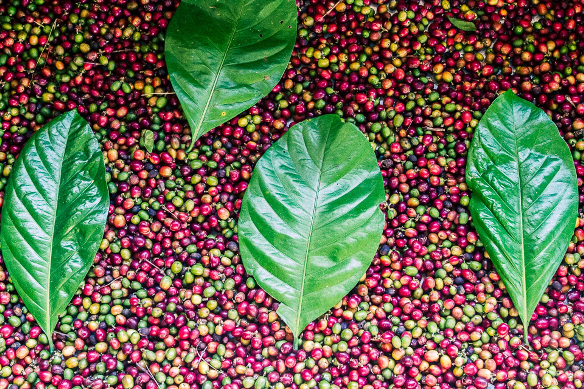 Coffee Harvest in Java - Best Season 2020