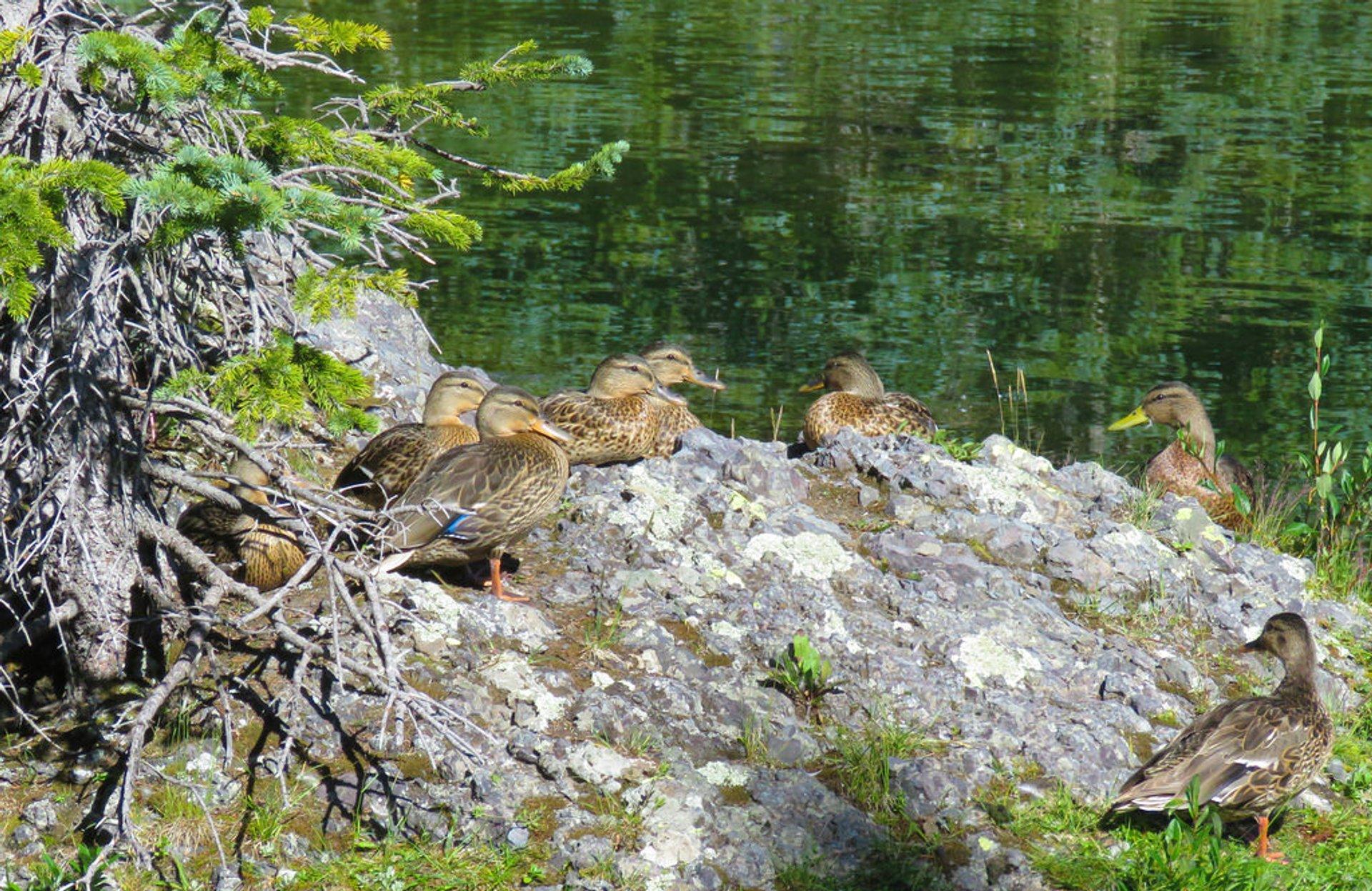 Female mallards at Alta Lakes 2020