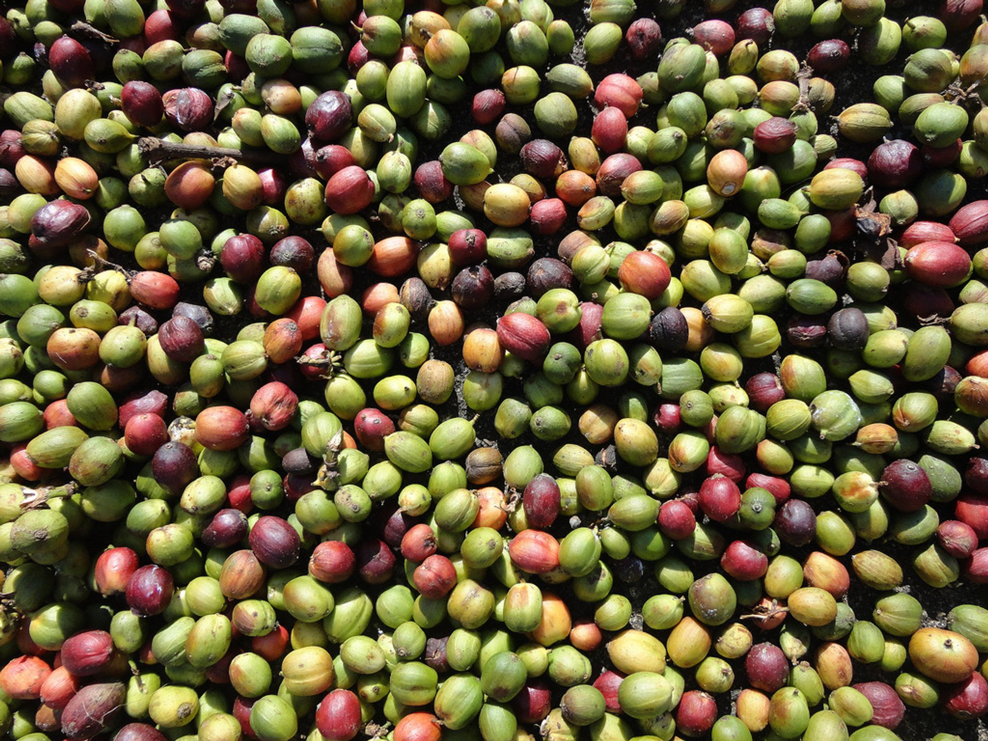 Coffee Harvest in India 2019 - Best Time