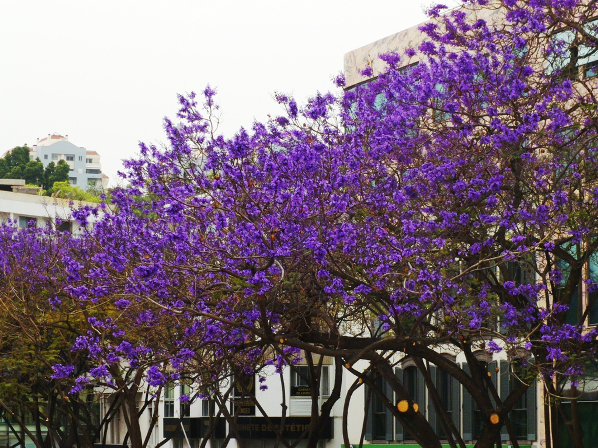 Jacaranda Trees in Bloom in Madeira - Best Time