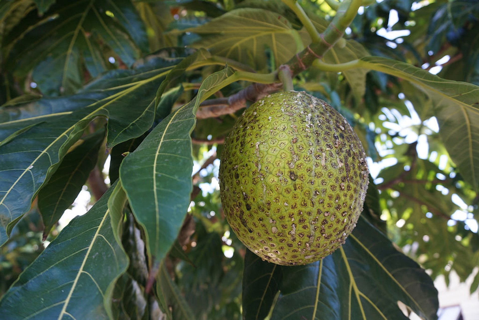 Breadfruit Season in Fiji 2020 - Best Time