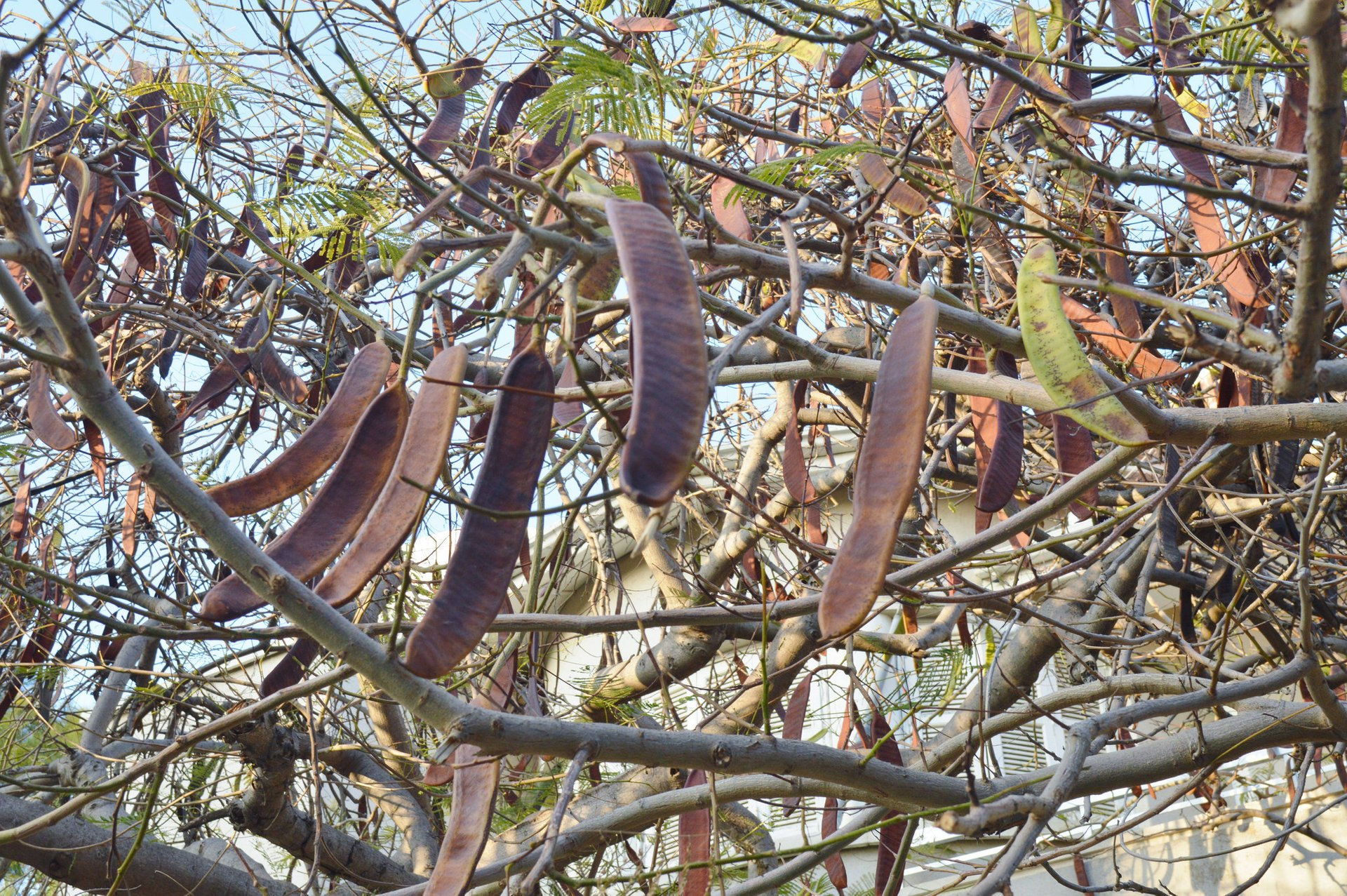 Best time for Carob Harvest in Cyprus 2020