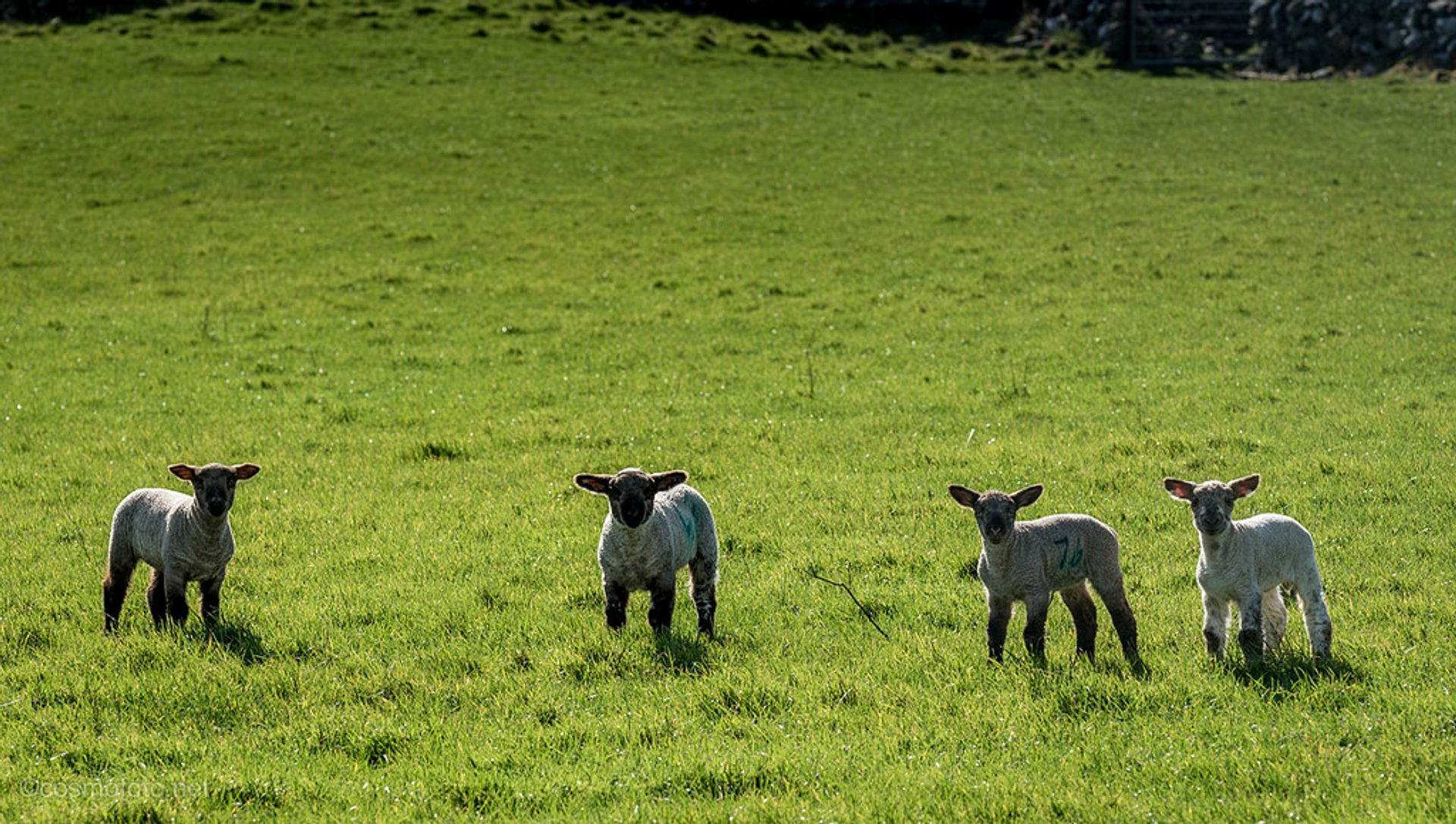 Best time for Lambing Season in Ireland 2019