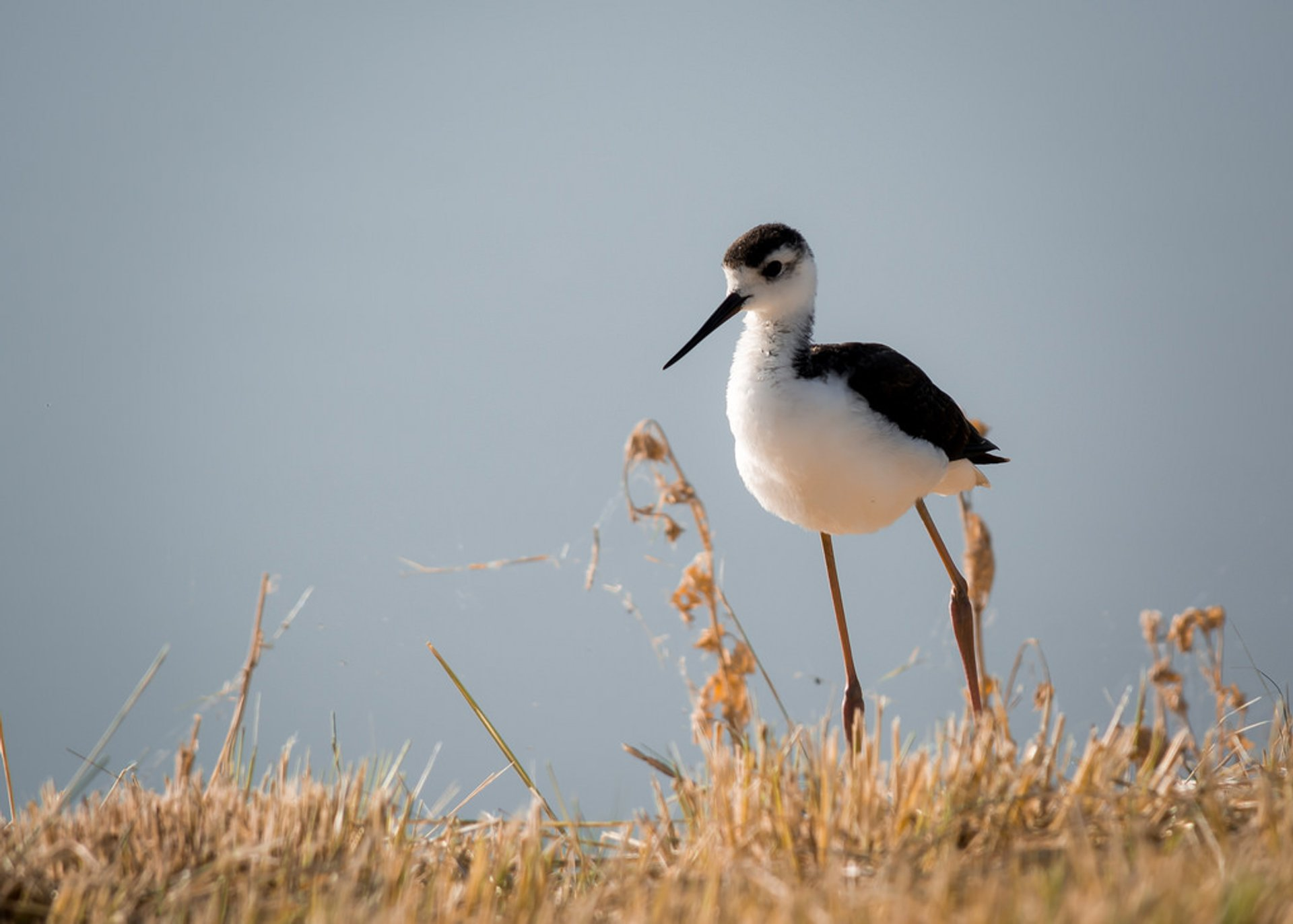 Black-necked Stilt  2020