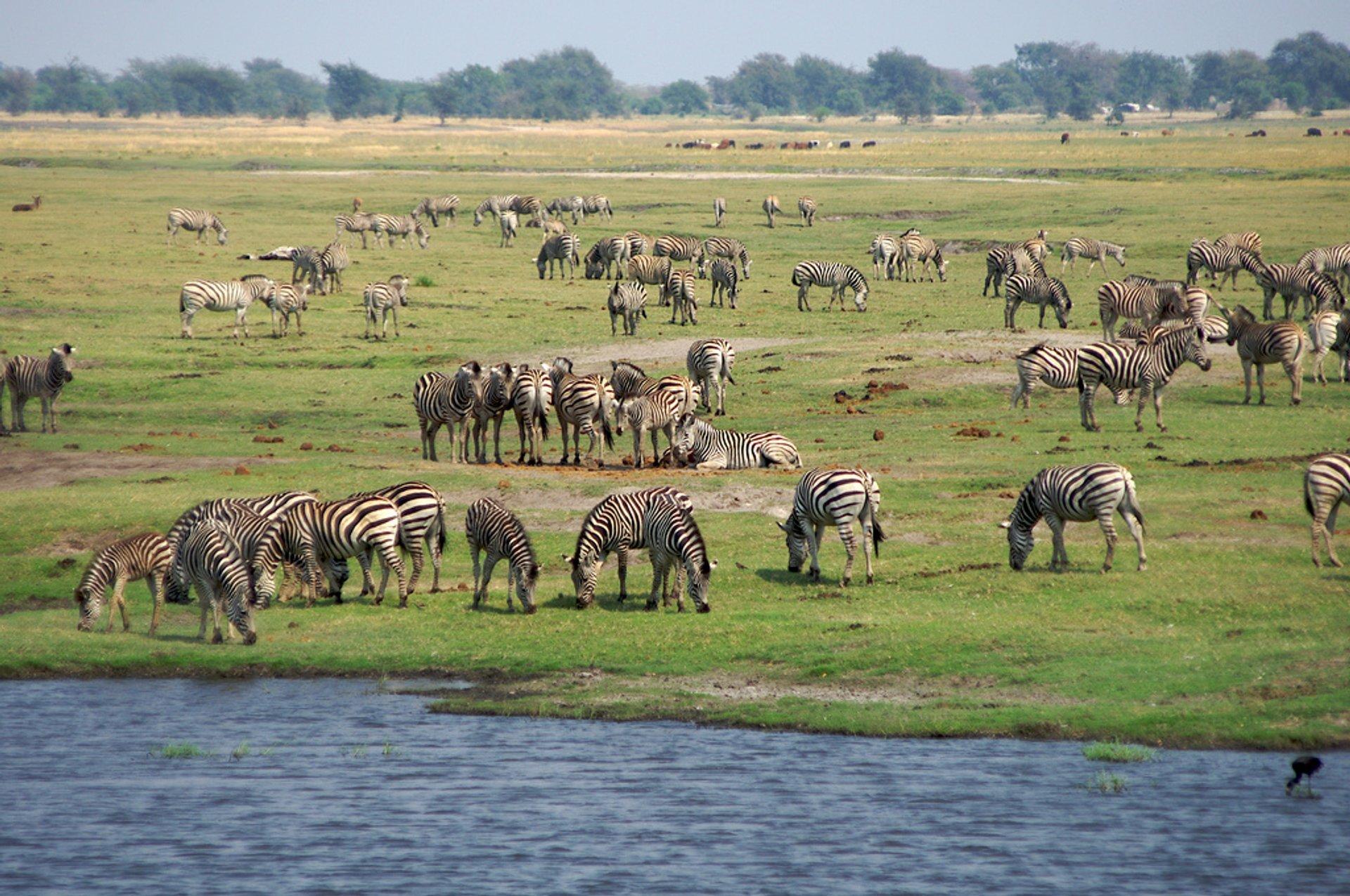 African Zebras in Botswana - Best Season 2020