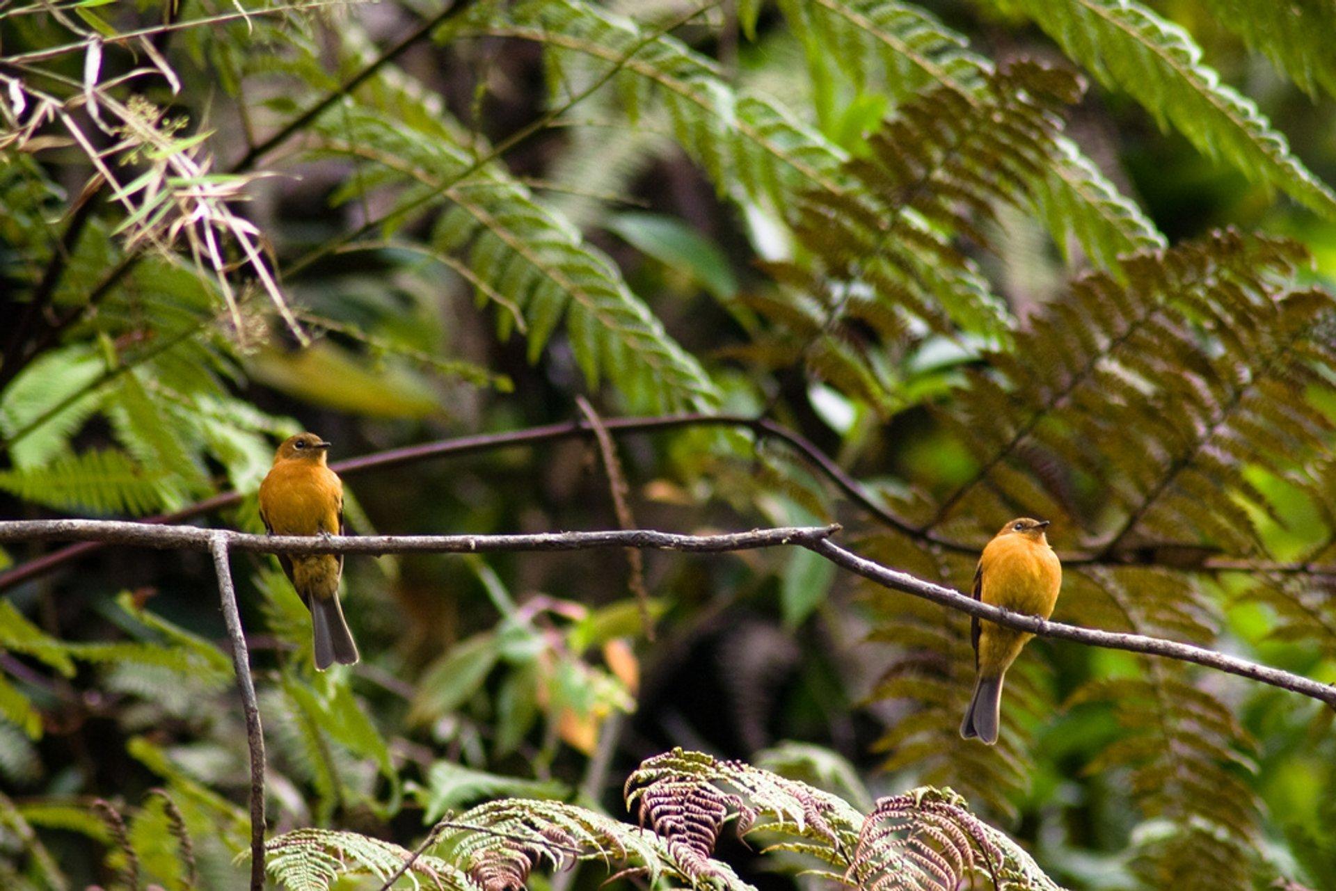 Atrapamoscas, Bosque Nublado near Pilcopata, Peru 2020