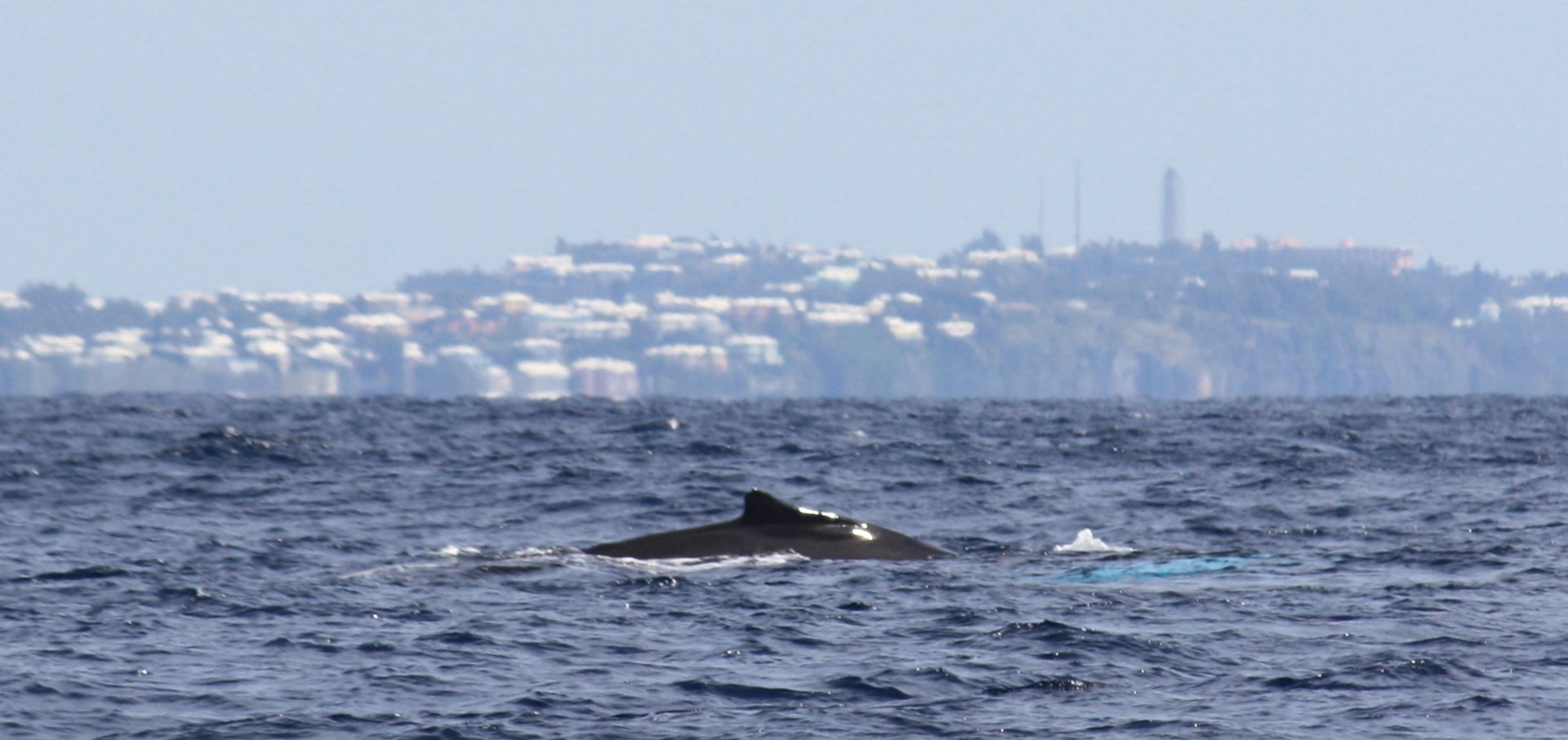 Whale Watching in Bermuda - Best Season 2020