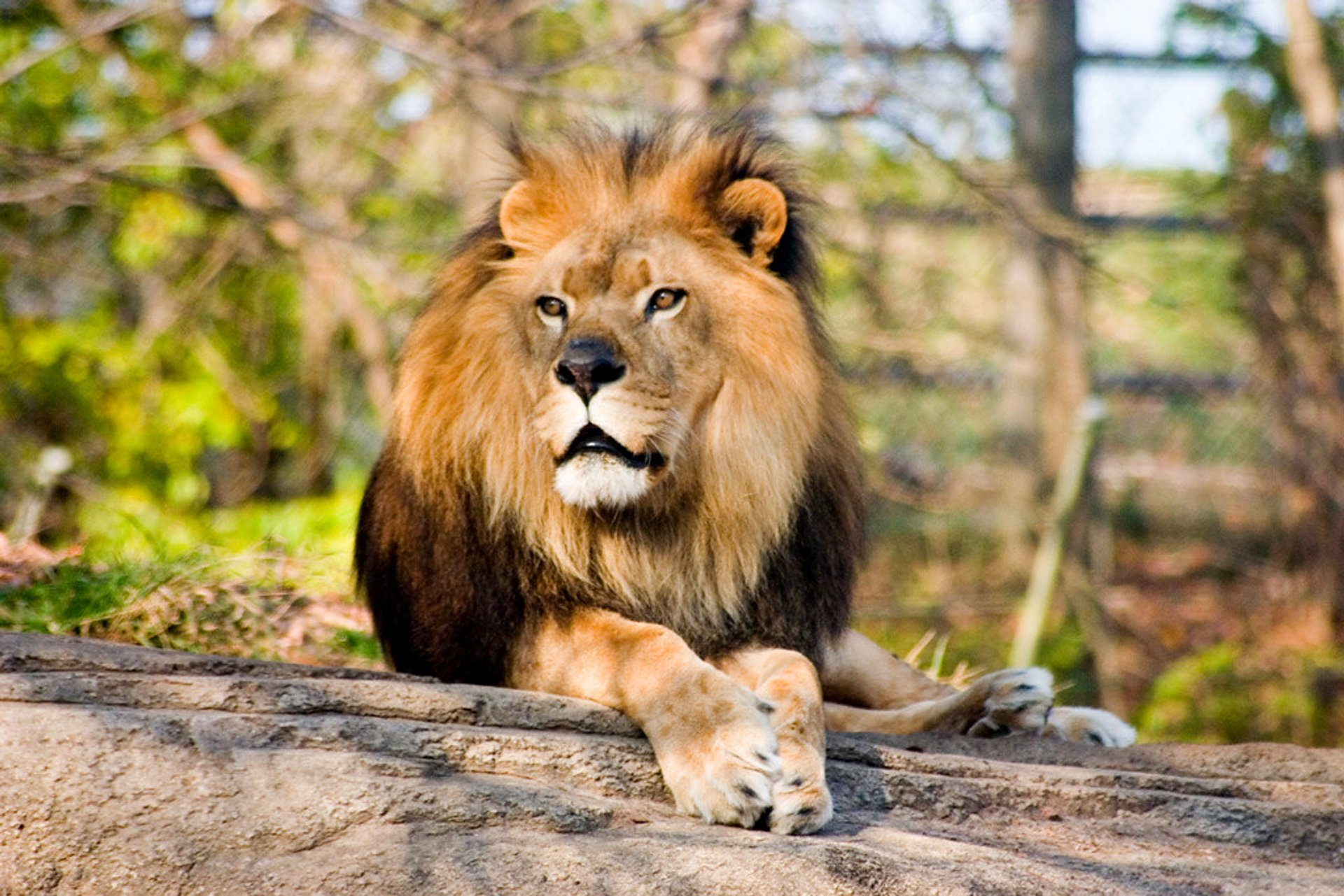 Lion at the Pittsburgh Zoo 2020