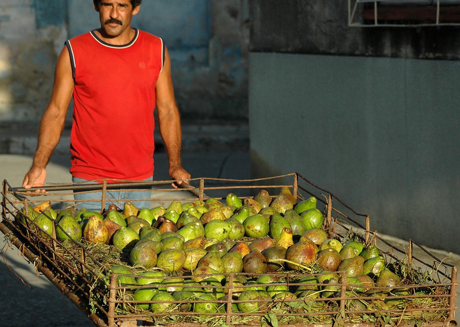 Avocado Season in Cuba - Best Season 2020