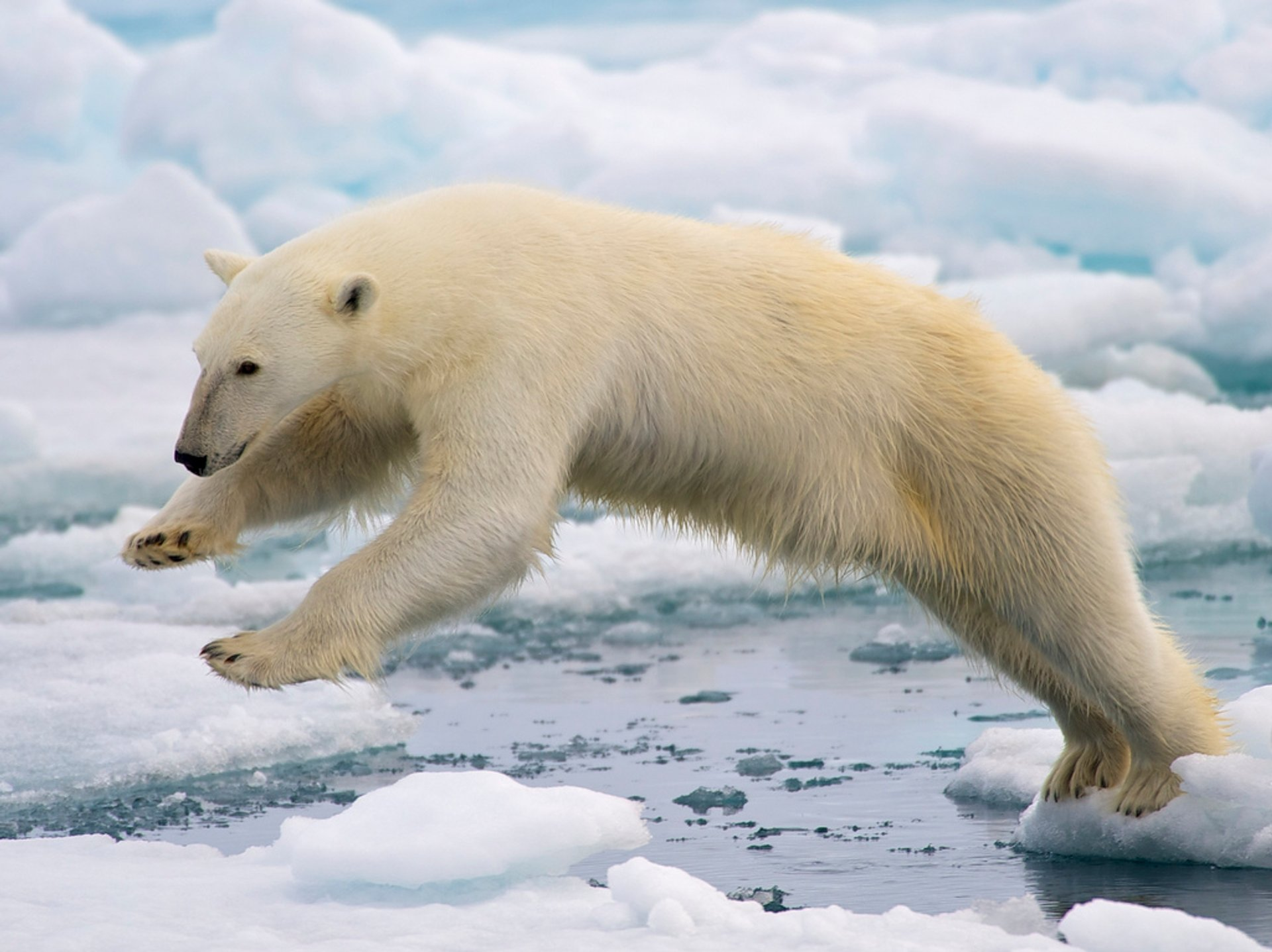 Polar Bear Watching in Svalbard 2020 - Best Time