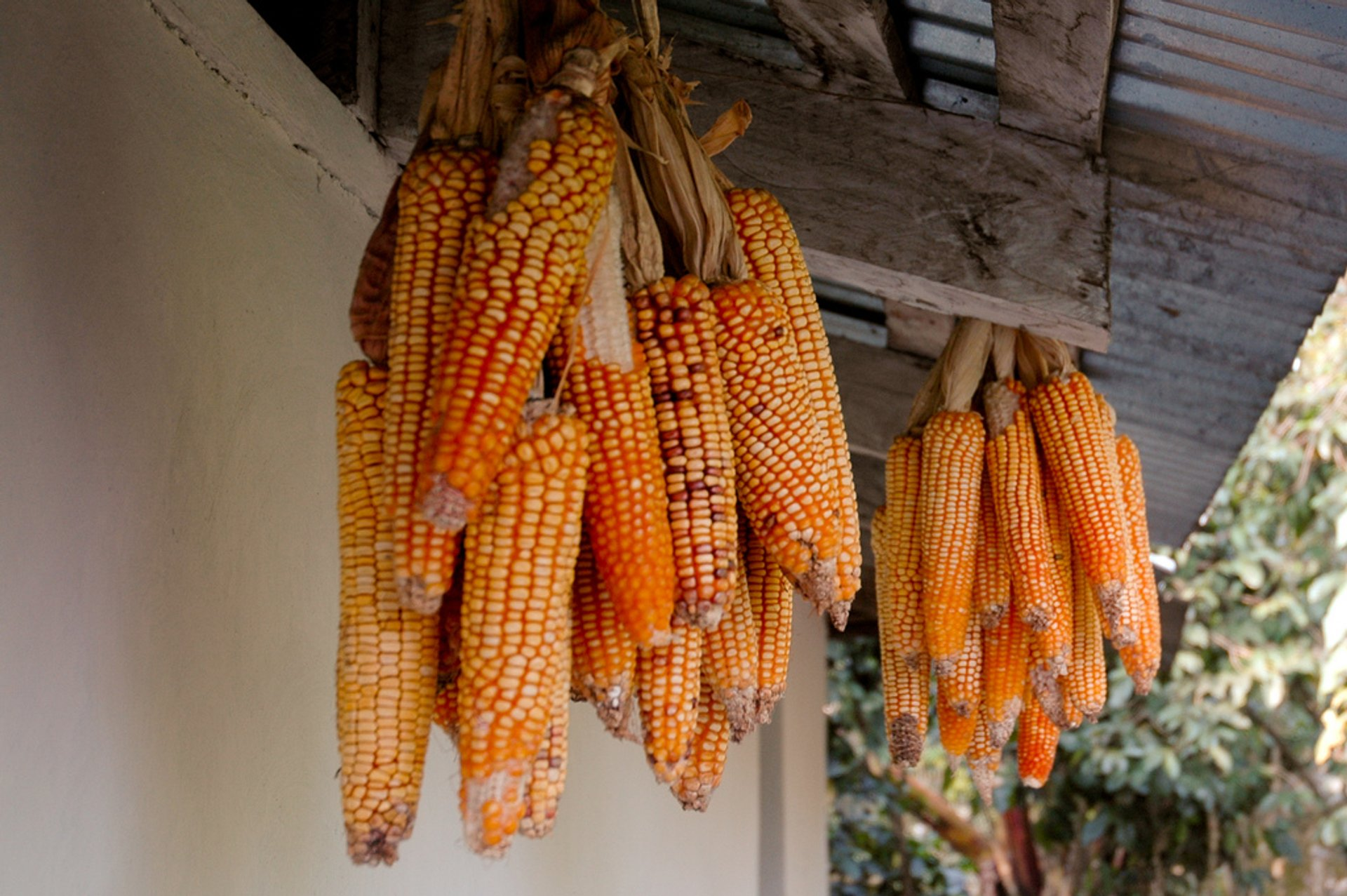 Maíz (Corn) Season in Honduras 2020 - Best Time