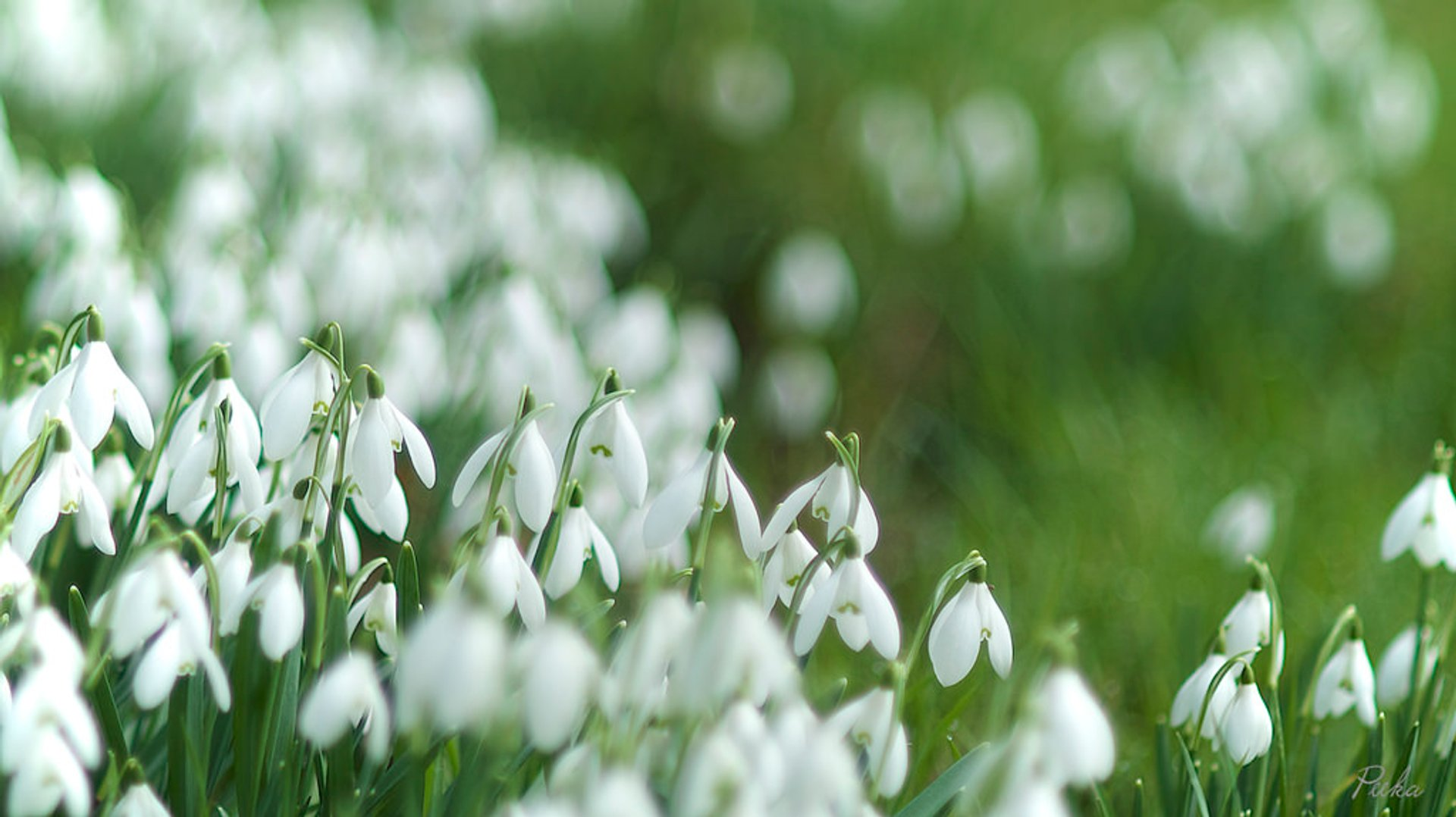 Snowdrops in Bloom in Wales 2019 - Best Time