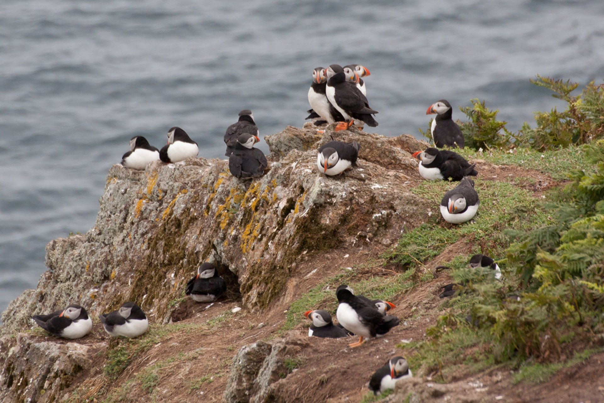 Atlantic Puffins on Skomer in Wales - Best Season