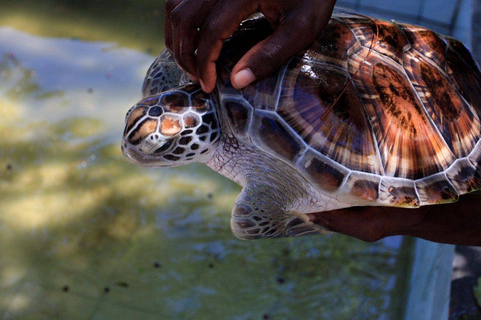 Marine Turtle Nesting Season in Zanzibar - Best Season 2020