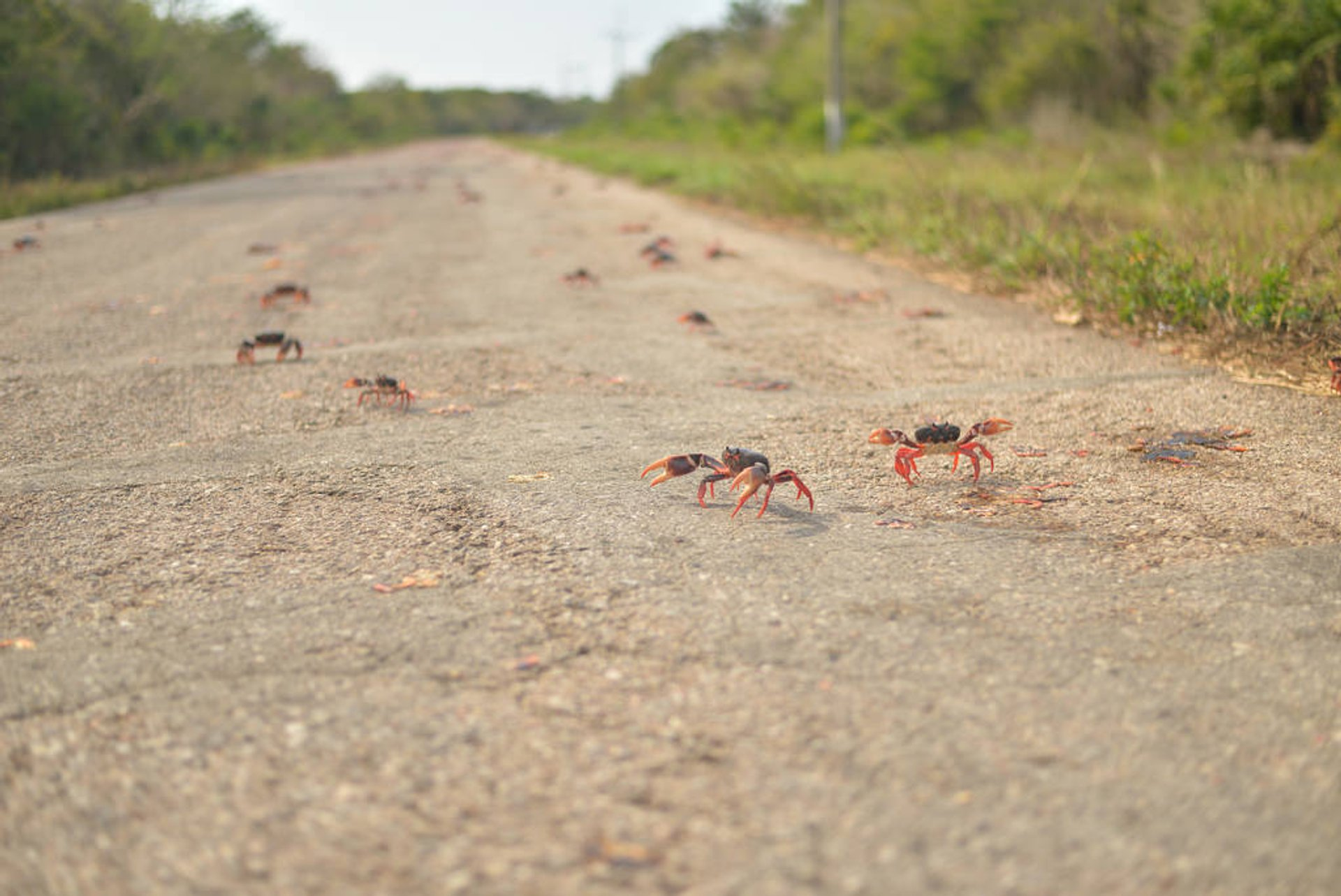 Crab Migration in Cuba - Best Time