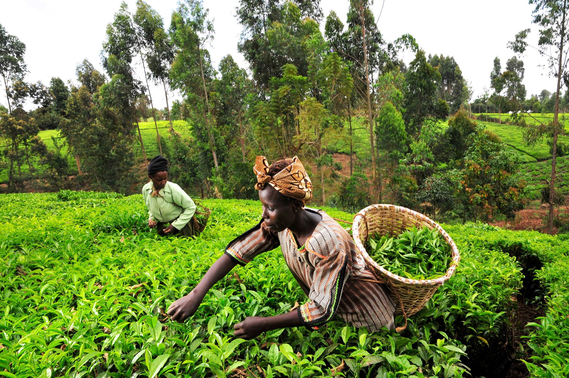 Tea Growing Season in Kenya 2020 - Best Time