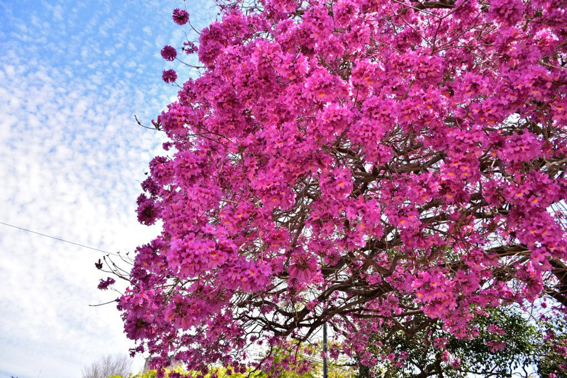 Lapacho Blooming in Buenos Aires 2020 - Best Time