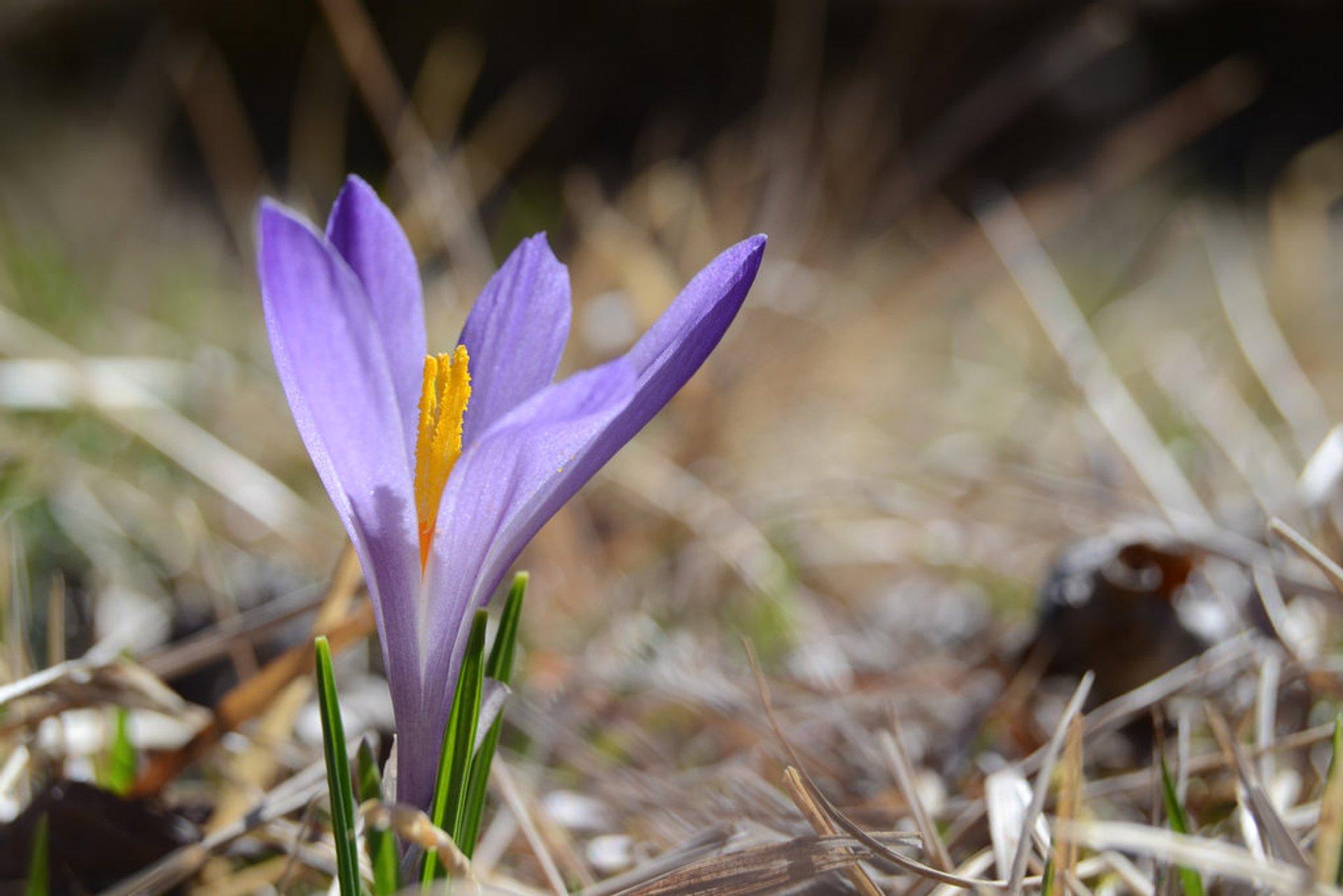 Saffron Harvest in Greece - Best Season 2019