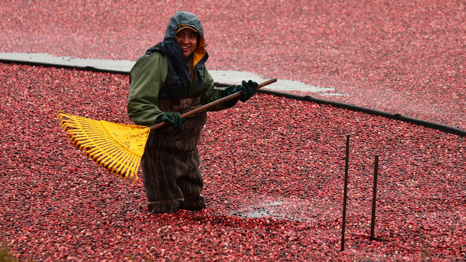 Cranberry Harvest in Quebec - Best Time