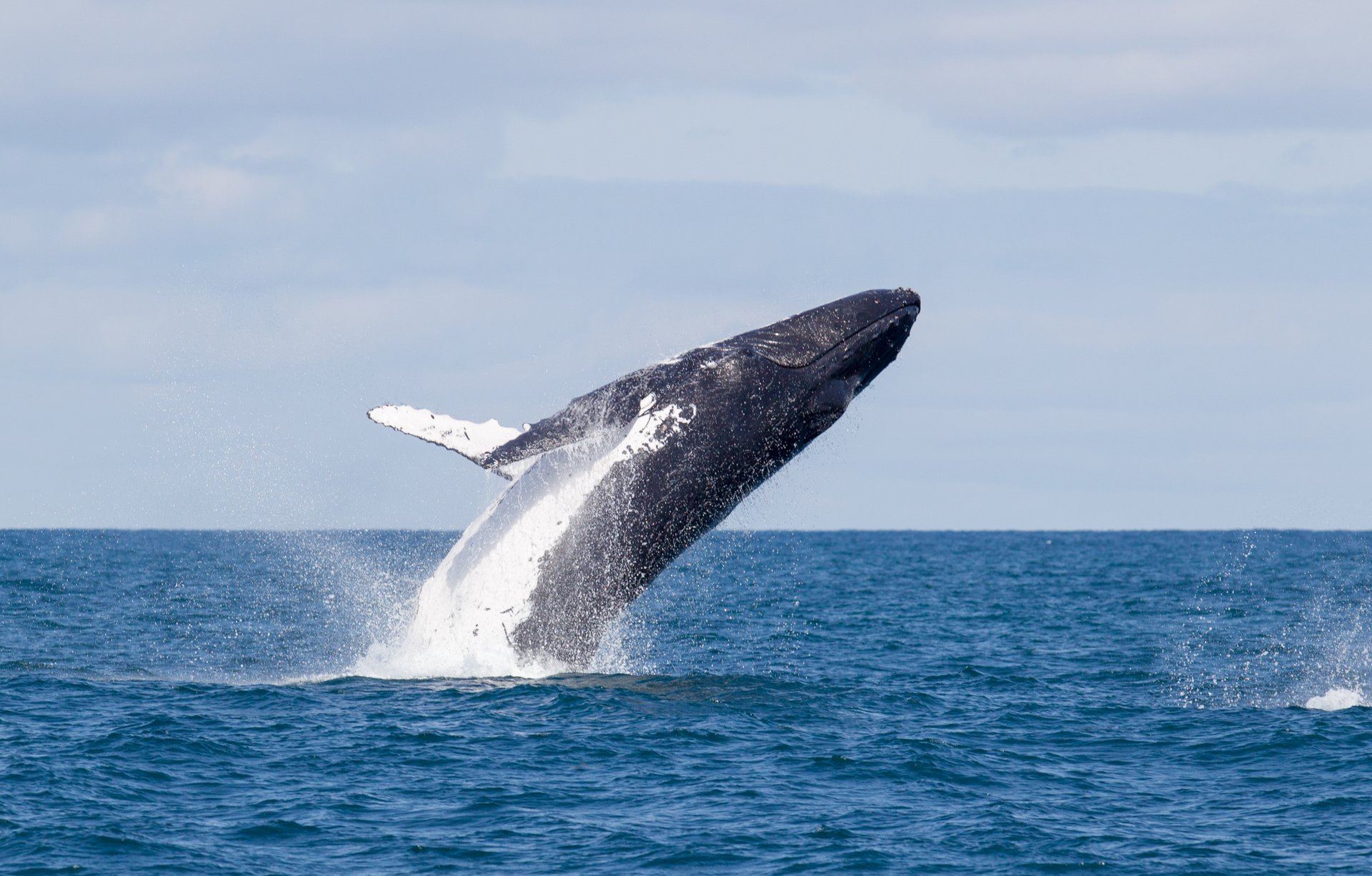 Whale Watching in Western Australia 2020 - Best Time