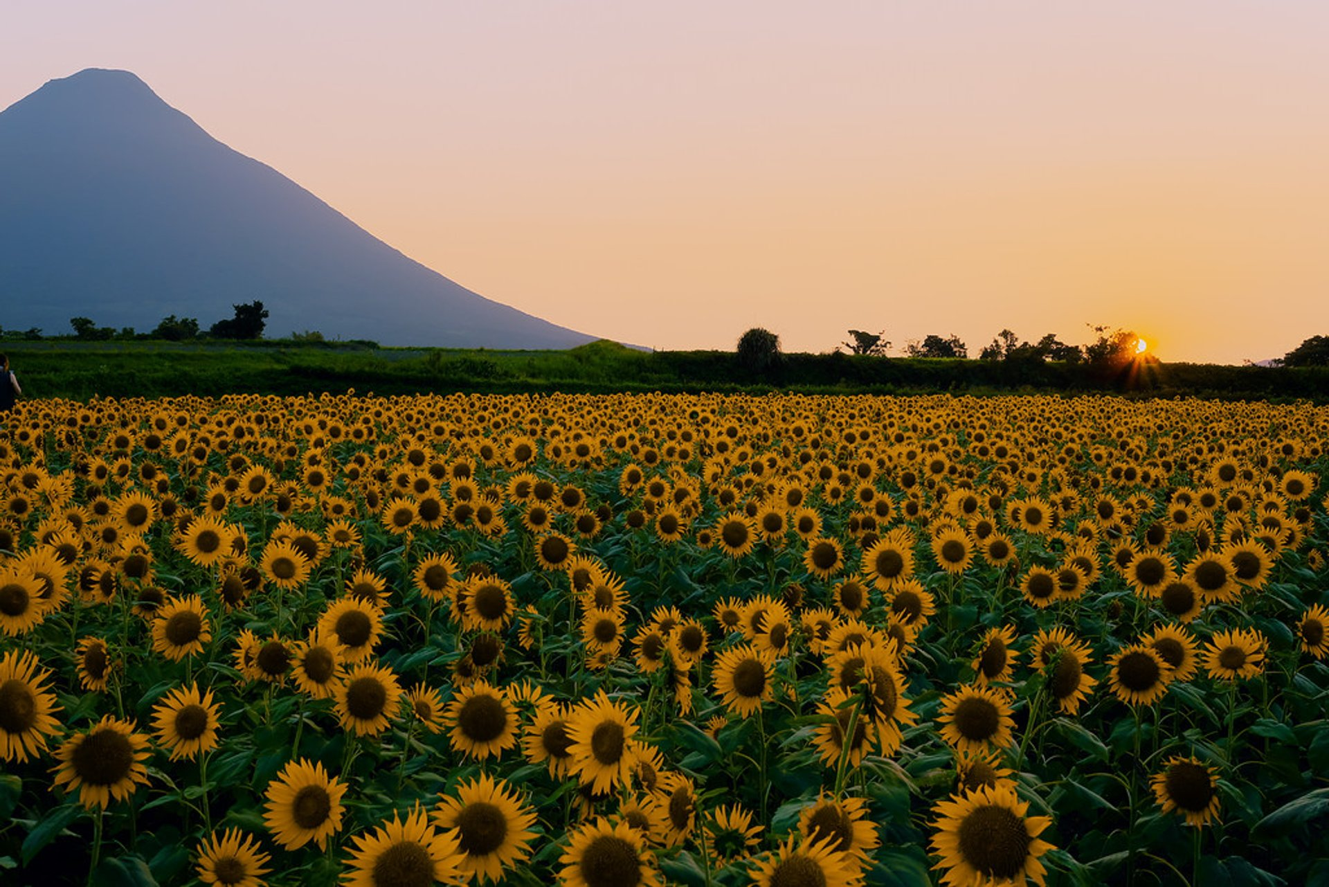 Sunflowers in Japan 2019 - Best Time