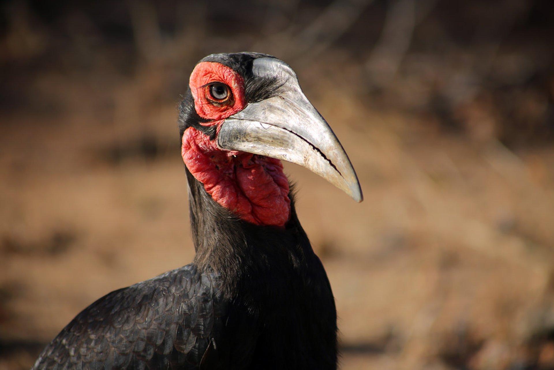 Ground hornbill 2019
