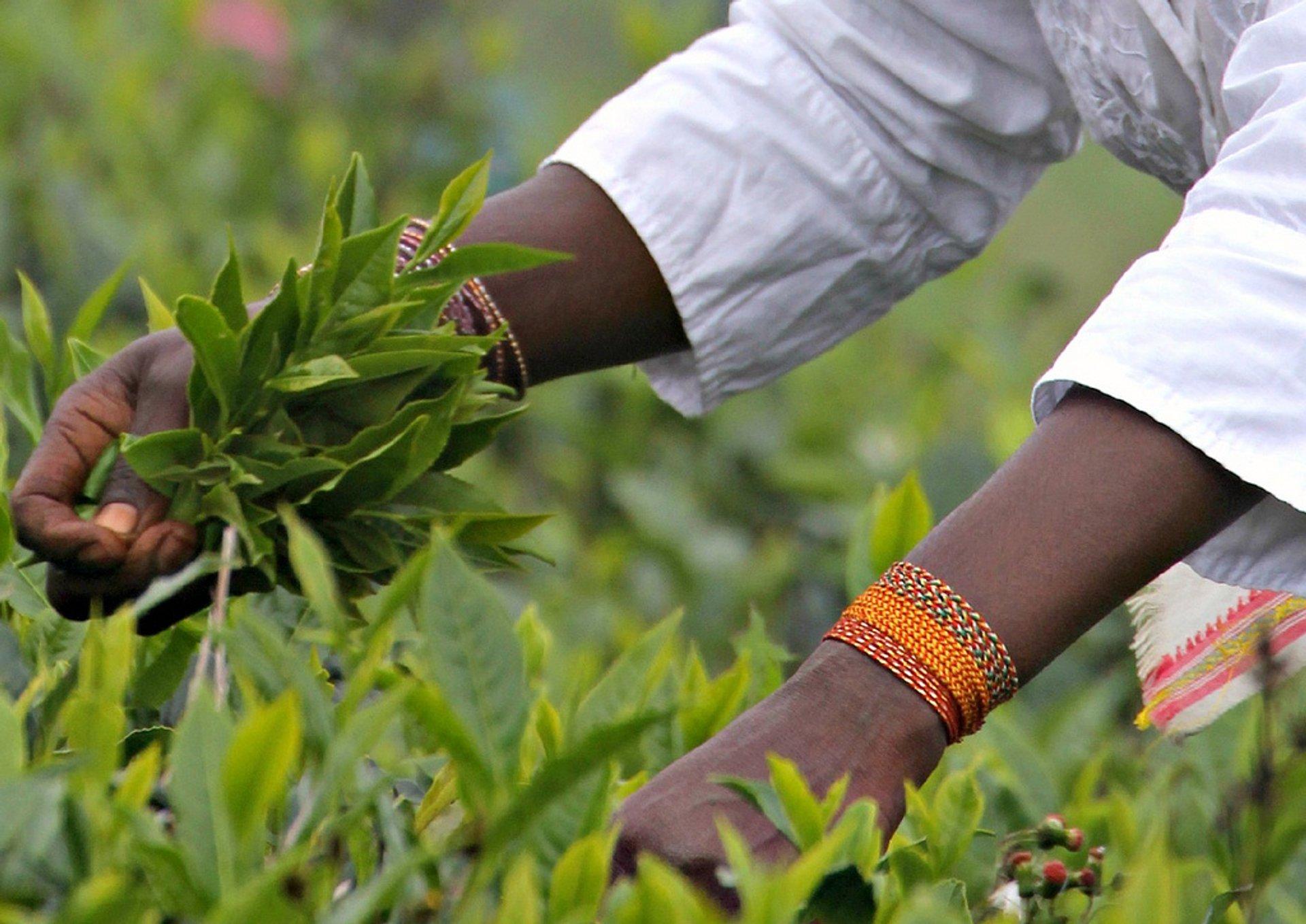 Uva Tea Harvest in Sri Lanka 2019 - Best Time
