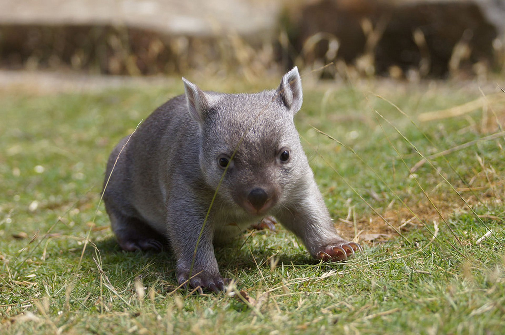 Best time for Wombat Watching in Tasmania 2020