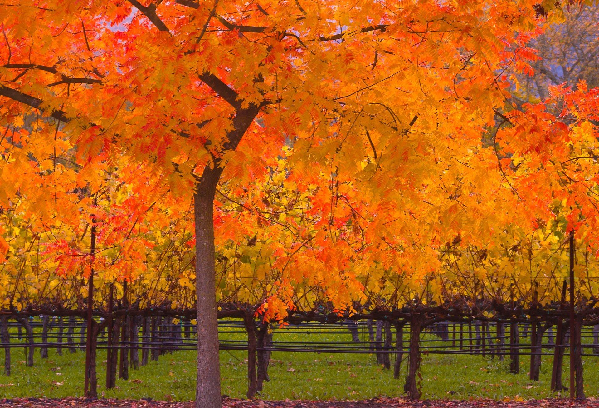 Fall at a vineyard in Napa Valley, California 2020