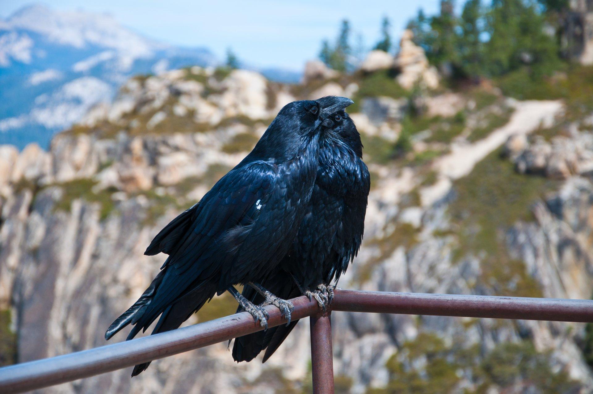 Ravens 2020