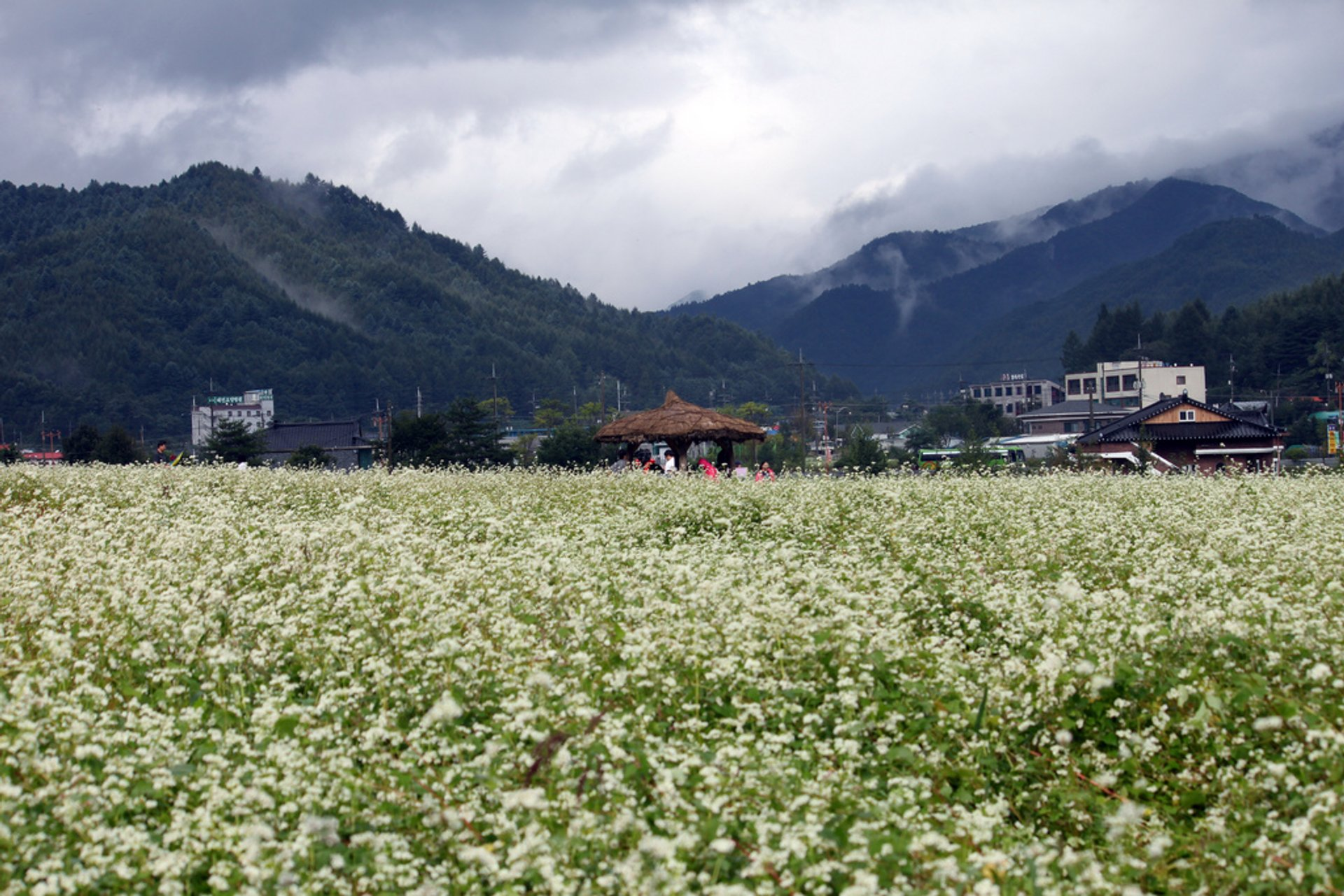 Best time for Buckwheat Bloom in South Korea 2019