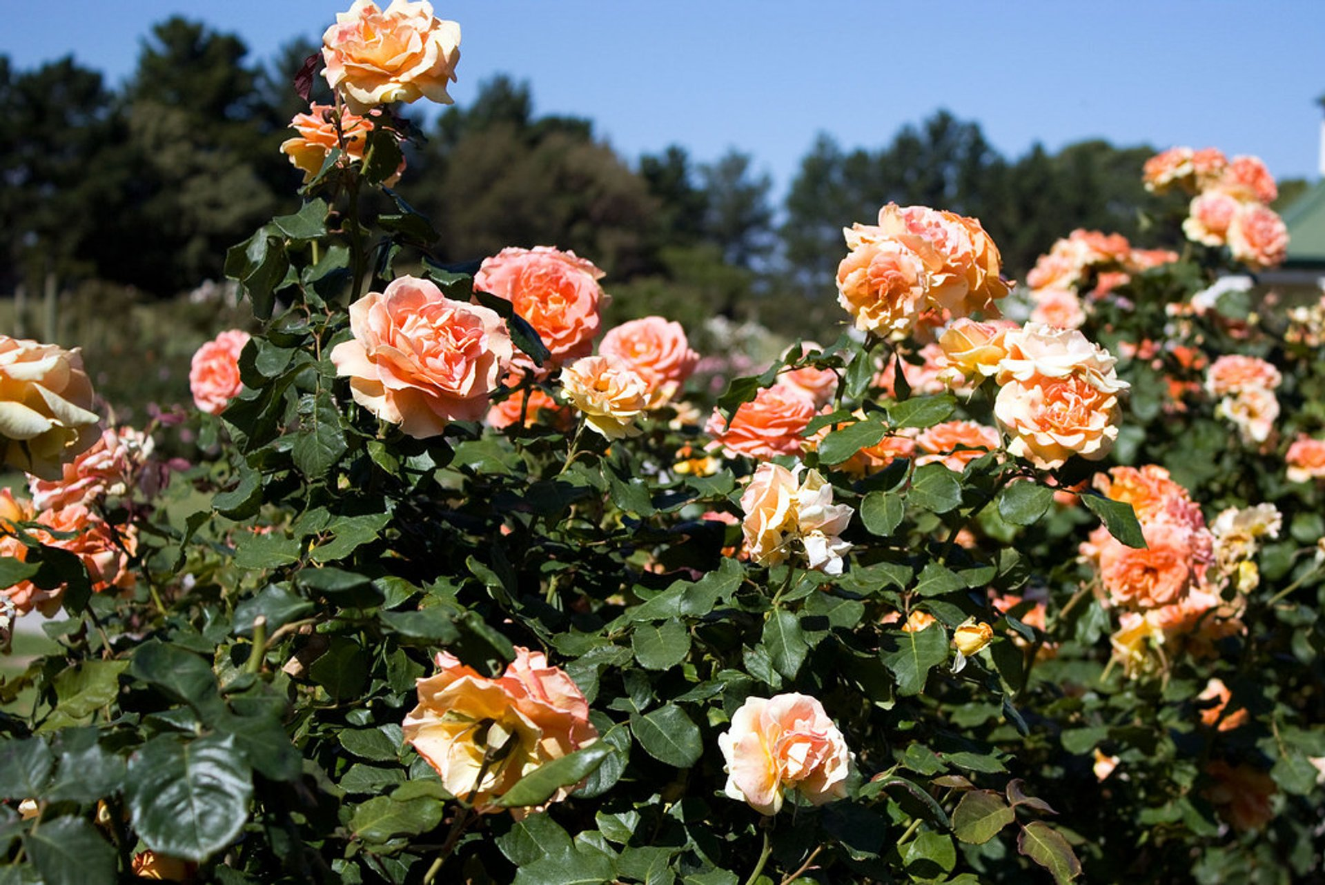 Best time for Rose Blooming in Victoria State Rose Garden 2020