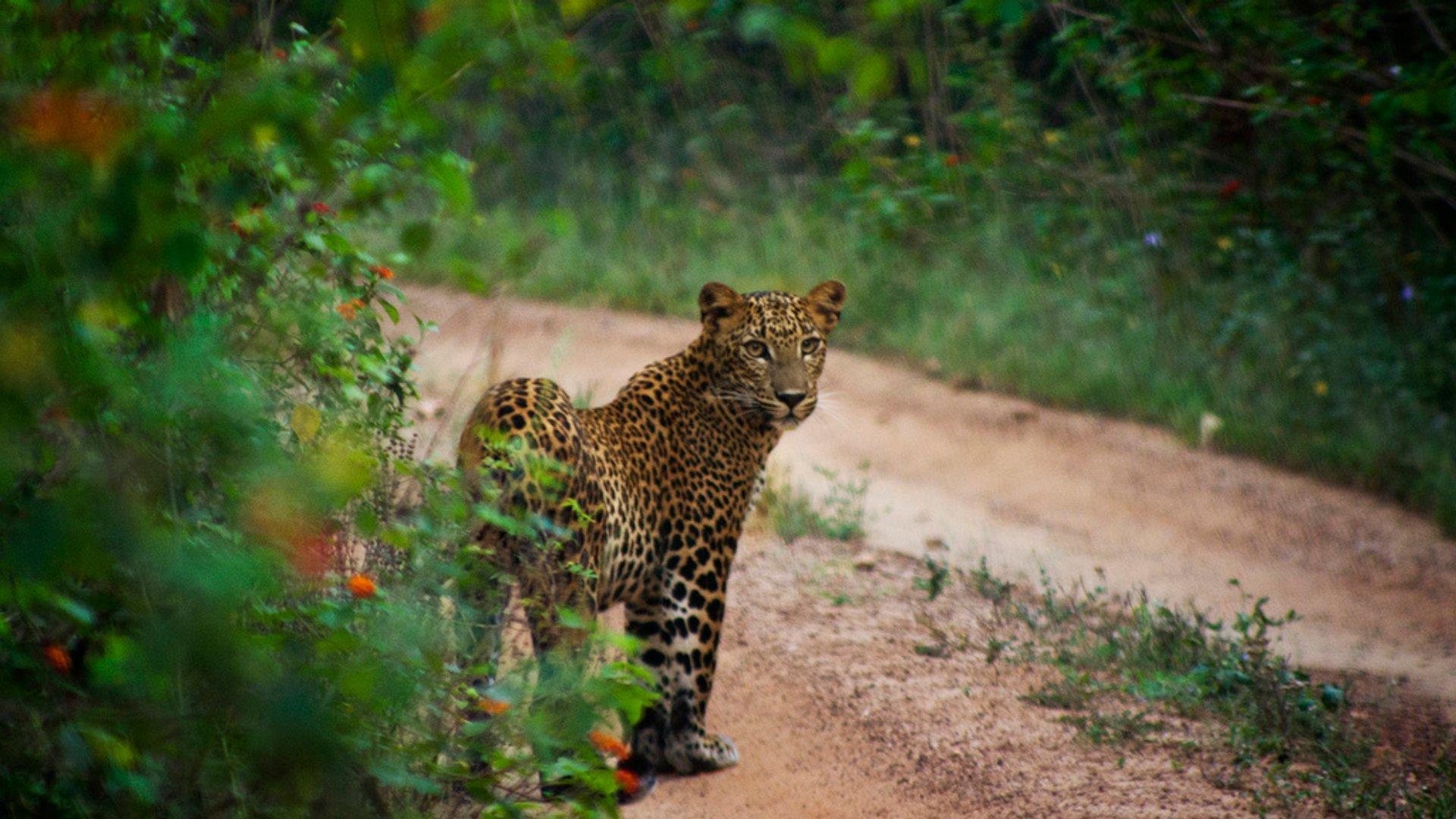 Best time for Leopard Safari in Sri Lanka 2019