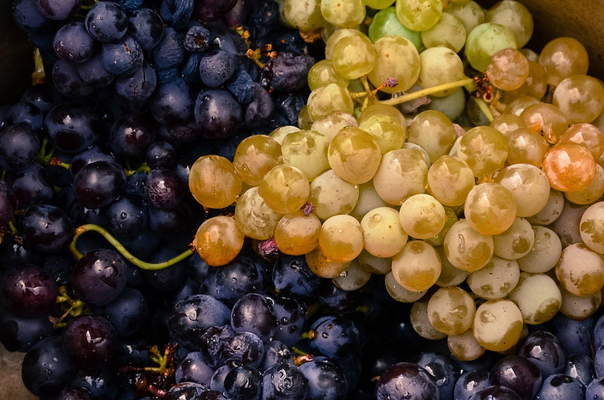 Grape Harvest in Cappadocia 2020 - Best Time