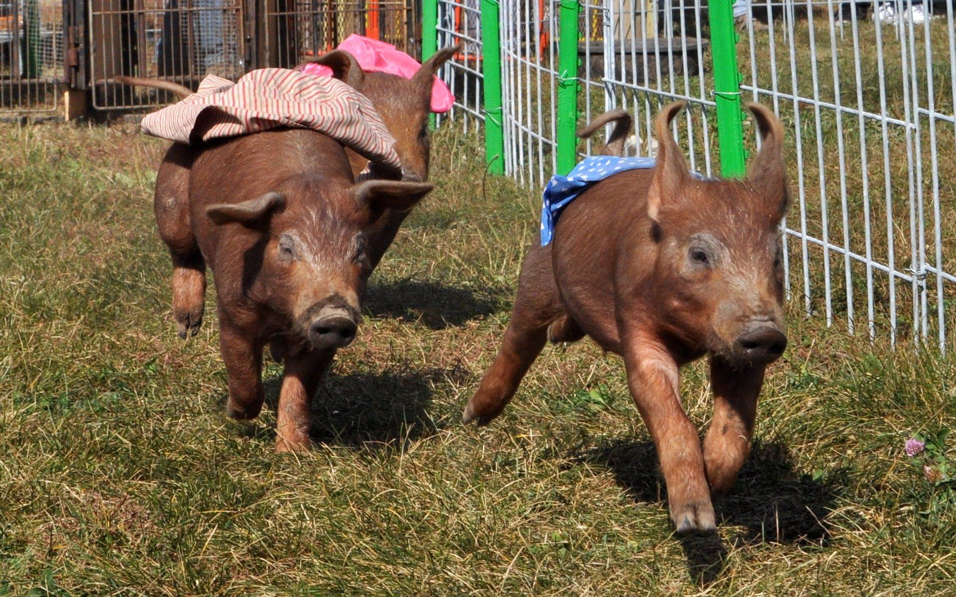 Pig races at Richardson Adventure Farm 2020
