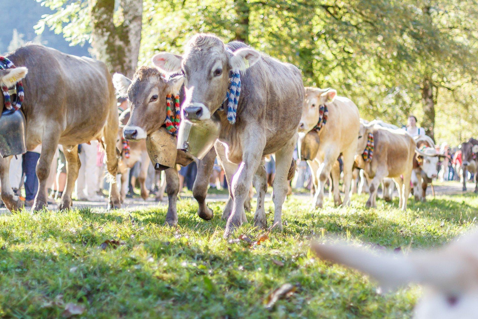 Viehscheid in Bavaria 2019 - Best Time