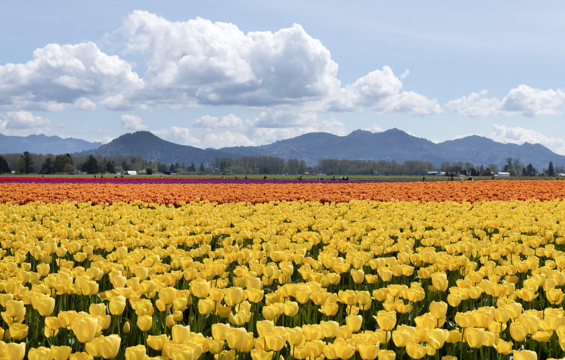 Best time for Skagit Valley Tulip Festival near Seattle, Washington in Seattle 2020