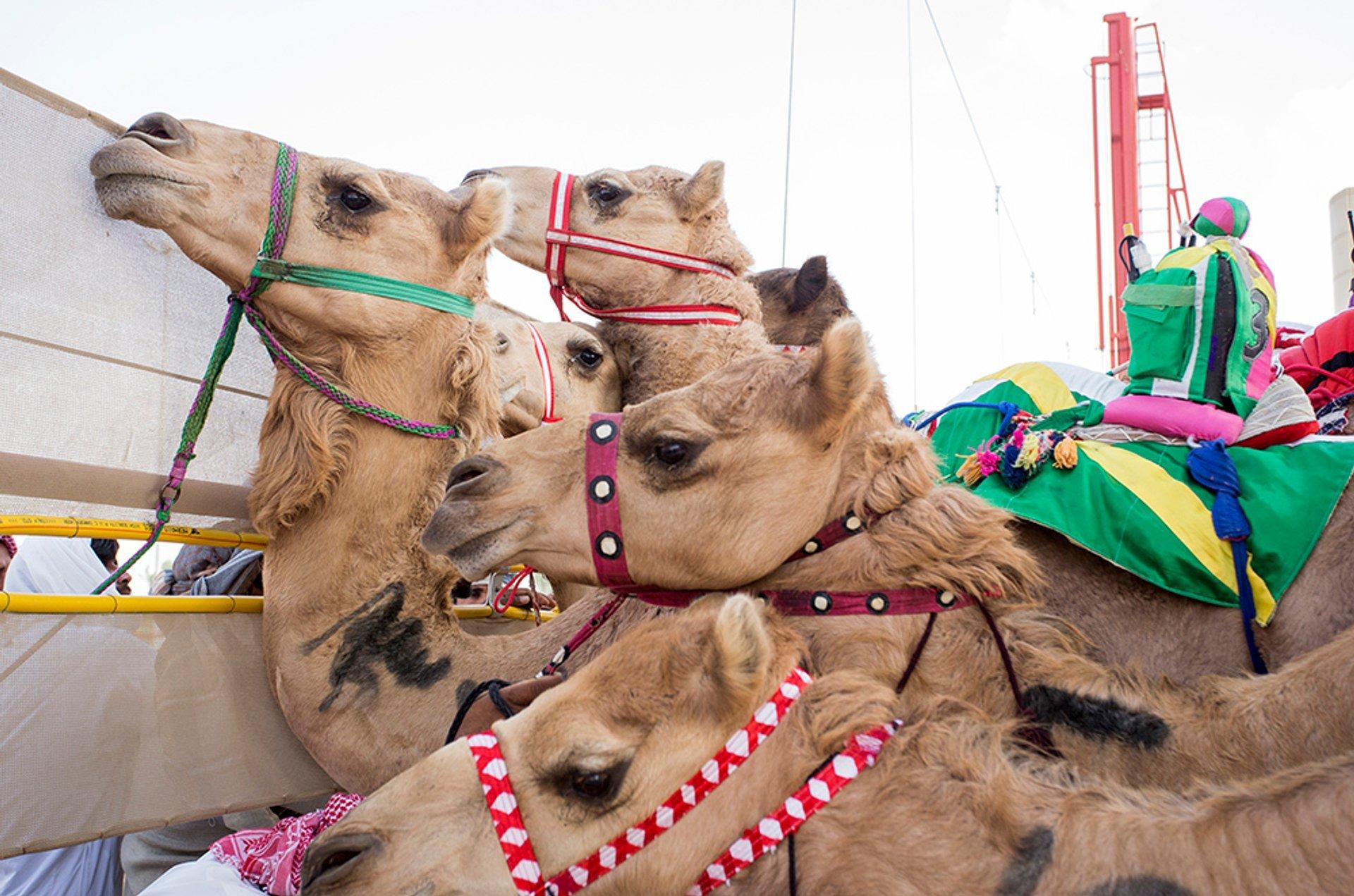 Camel Racing Season in Dubai 2019 - Best Time