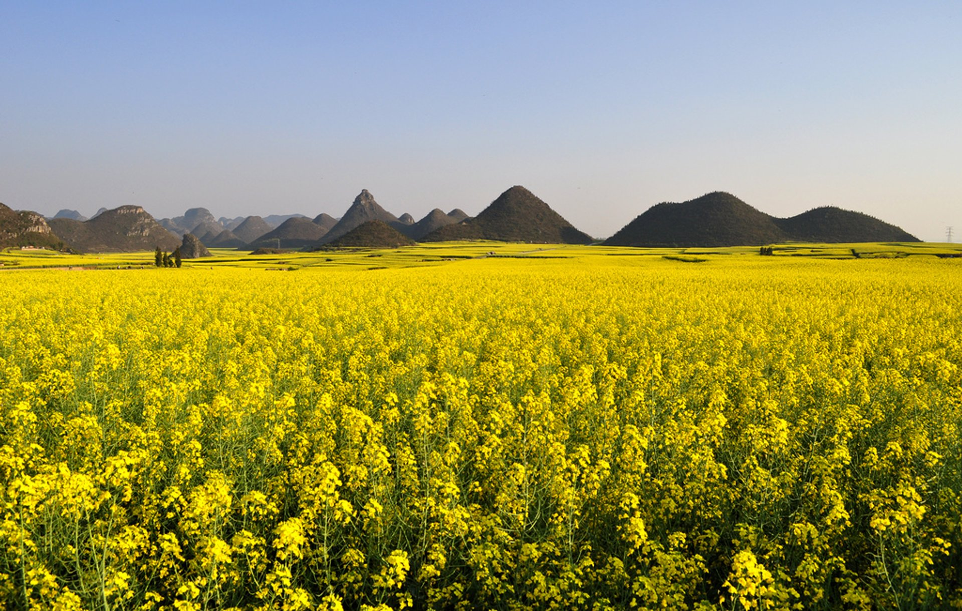Canola Fields in Luoping in China 2020 - Best Time