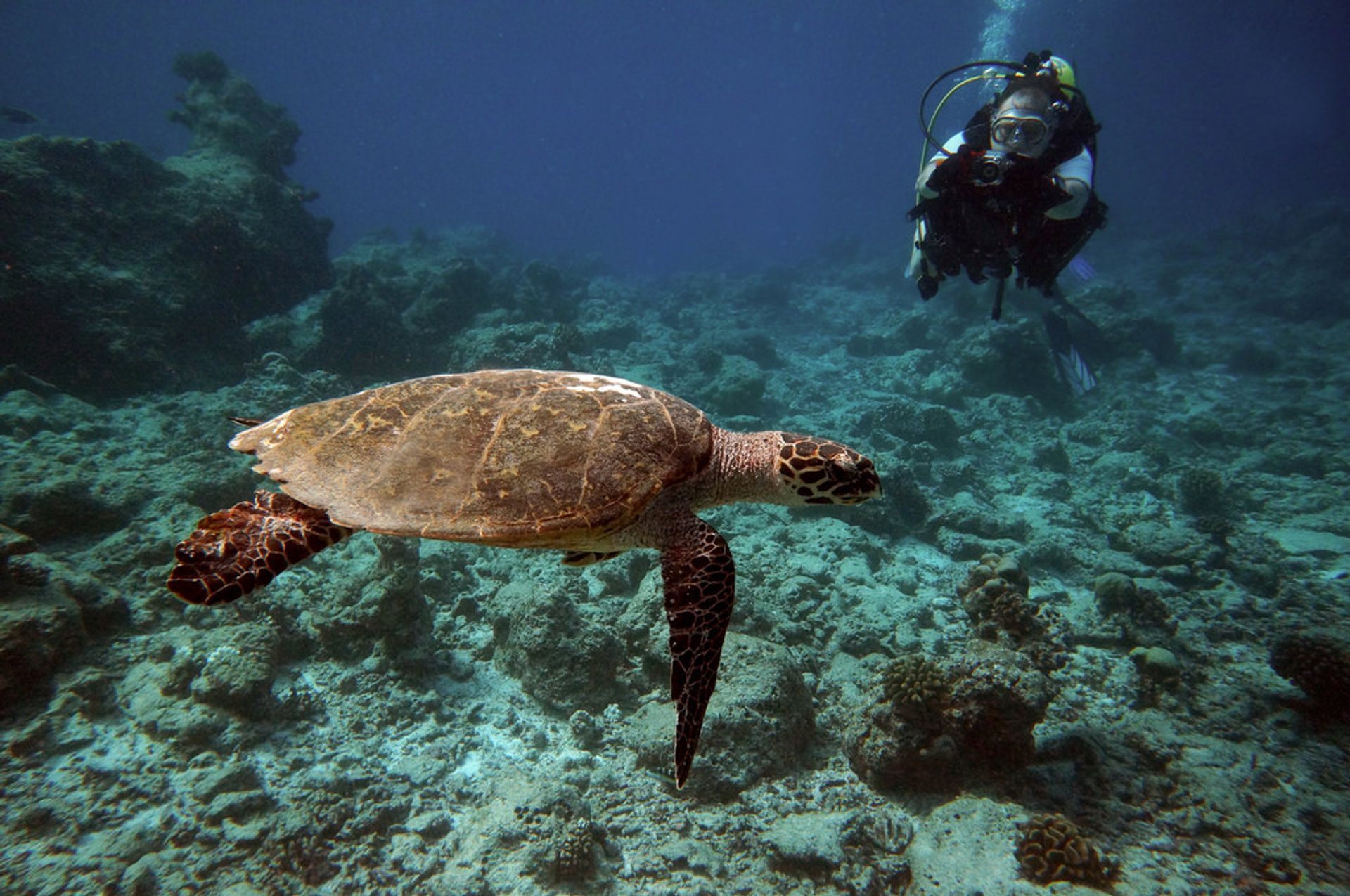 Diving Maldives: Hawksbill Turtle, Bandos Island, Maldives 2020