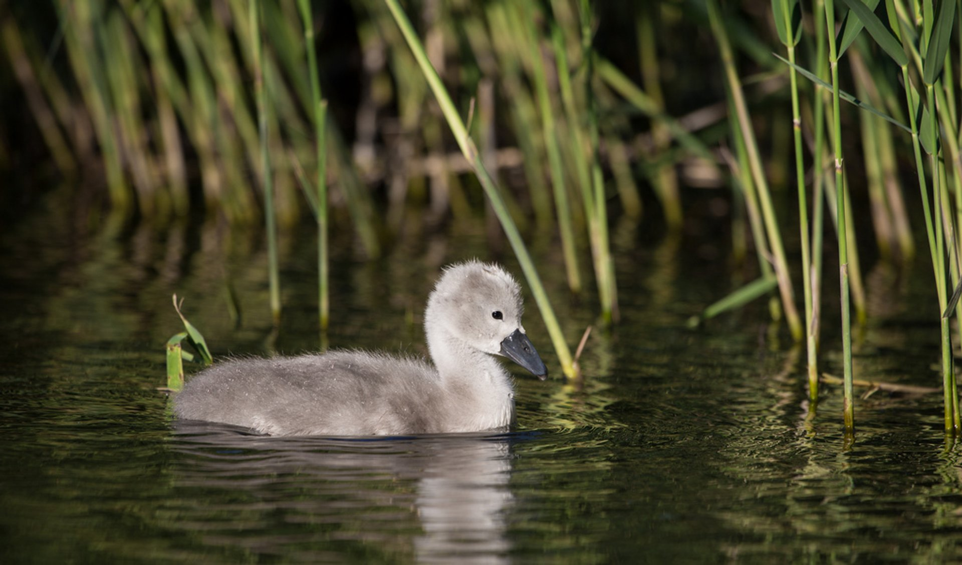Best time to see Baby Swans in Copenhagen 2020