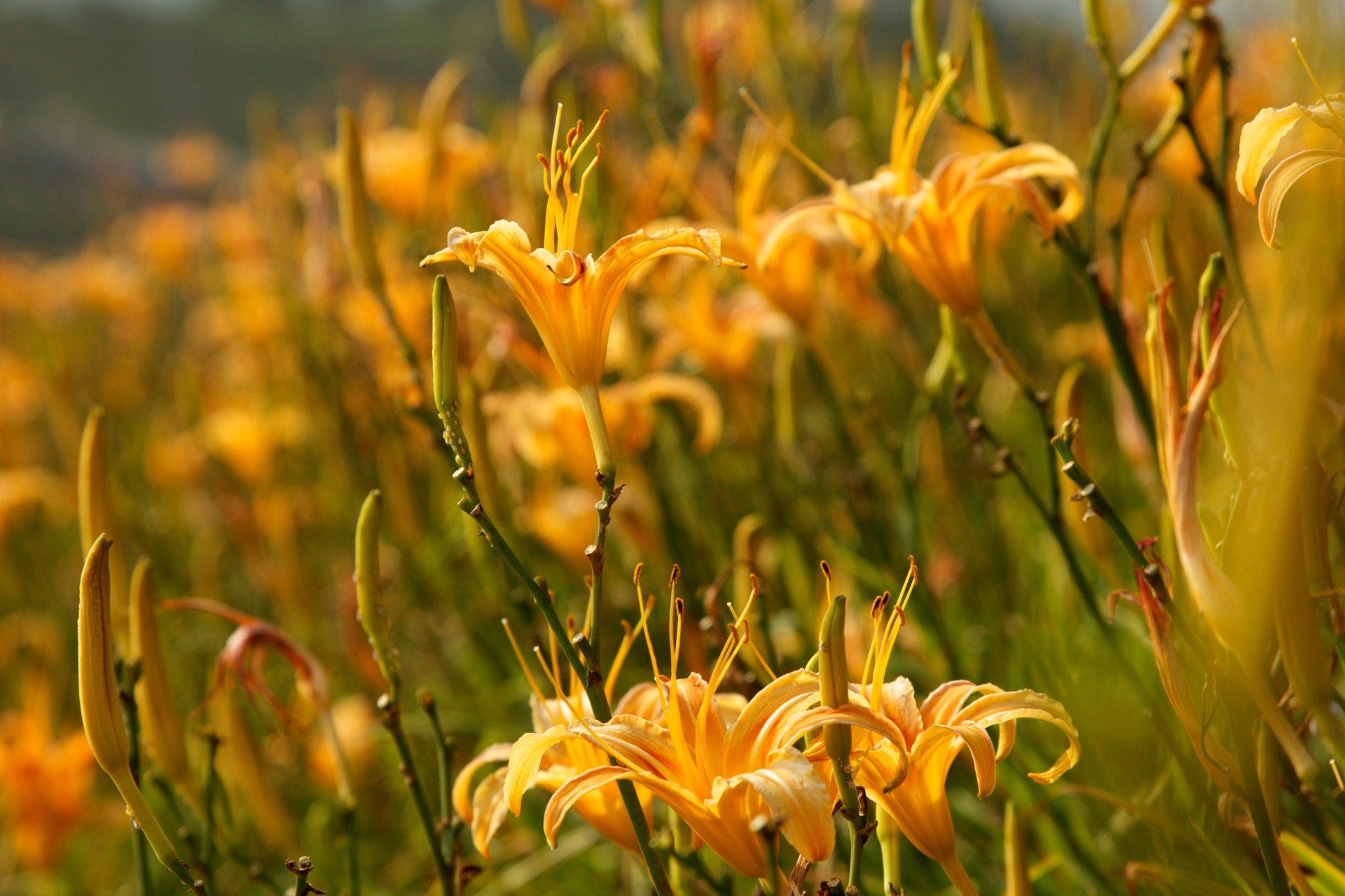 Daylily Blossom in Taiwan - Best Season