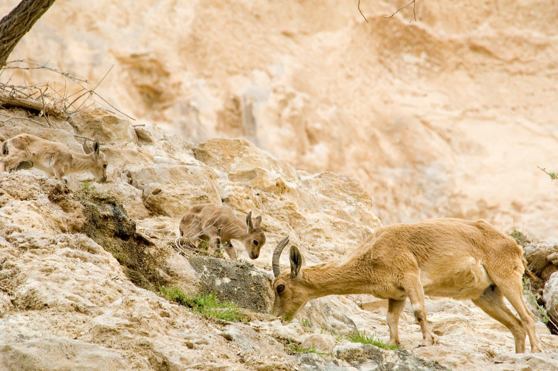 Nubian Ibex Baby Mountain Goats in Israel - Best Season 2020