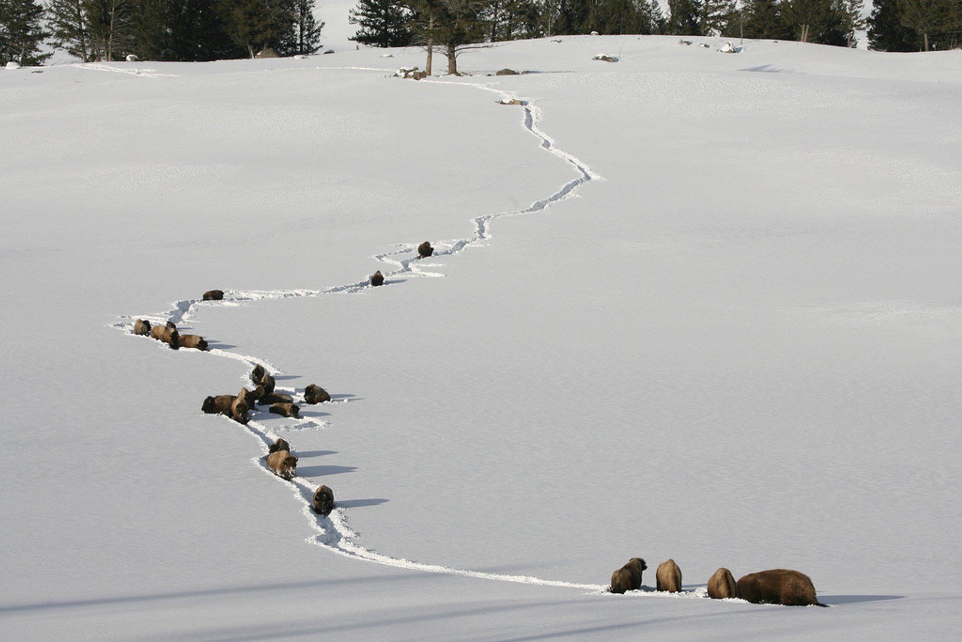 Bison walking through deep snow near Tower Jct. 2019