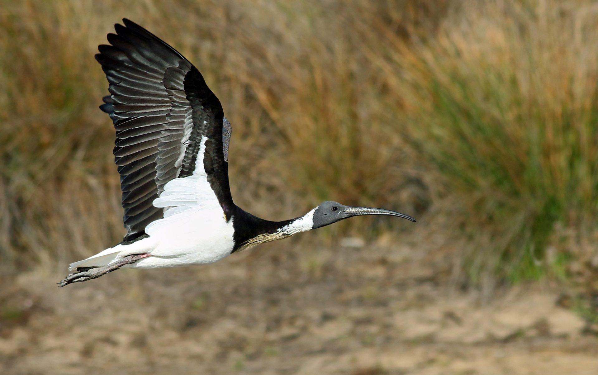 Straw-necked ibis 2020