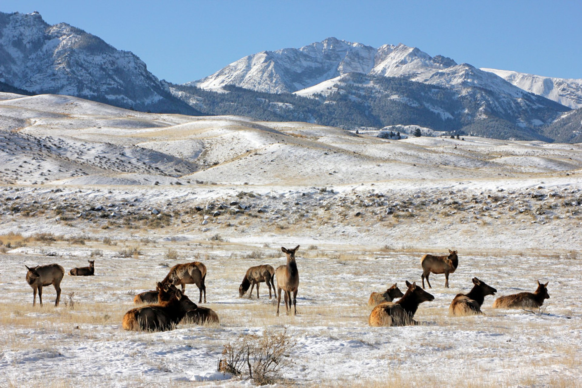Cow elk near the North Entrance of Yellowstone National Park 2020