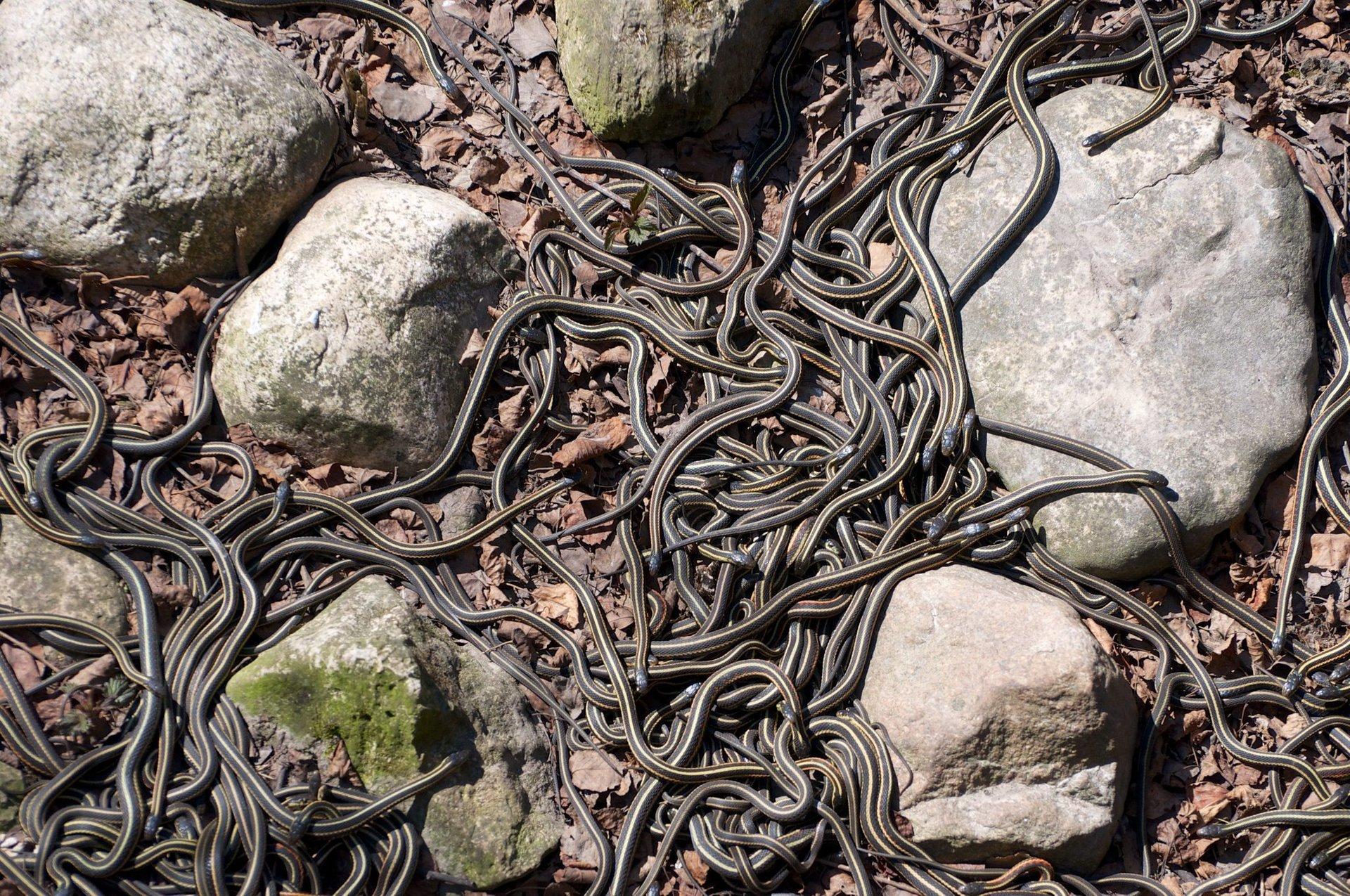 Narcisse Snake Dens in Manitoba - Best Season 2020